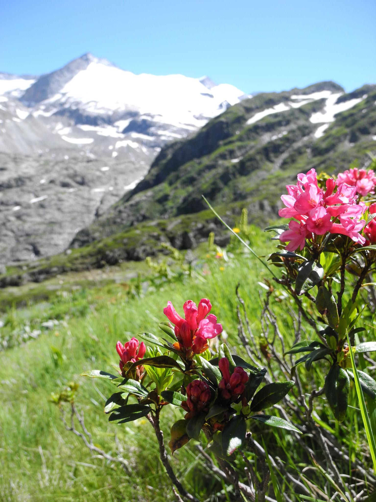 ... 29: Die Alpenrosen blühen