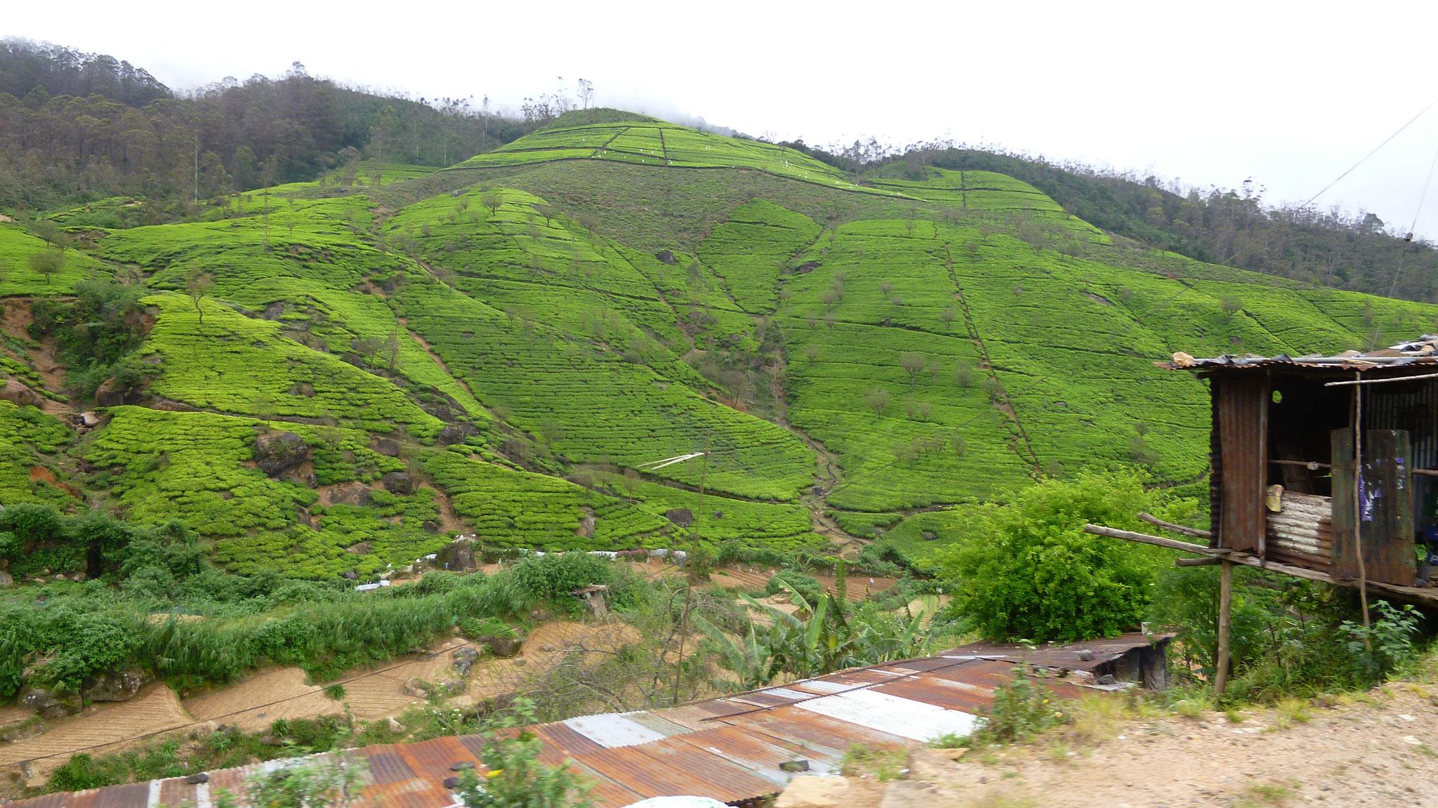 Tee Plantagen