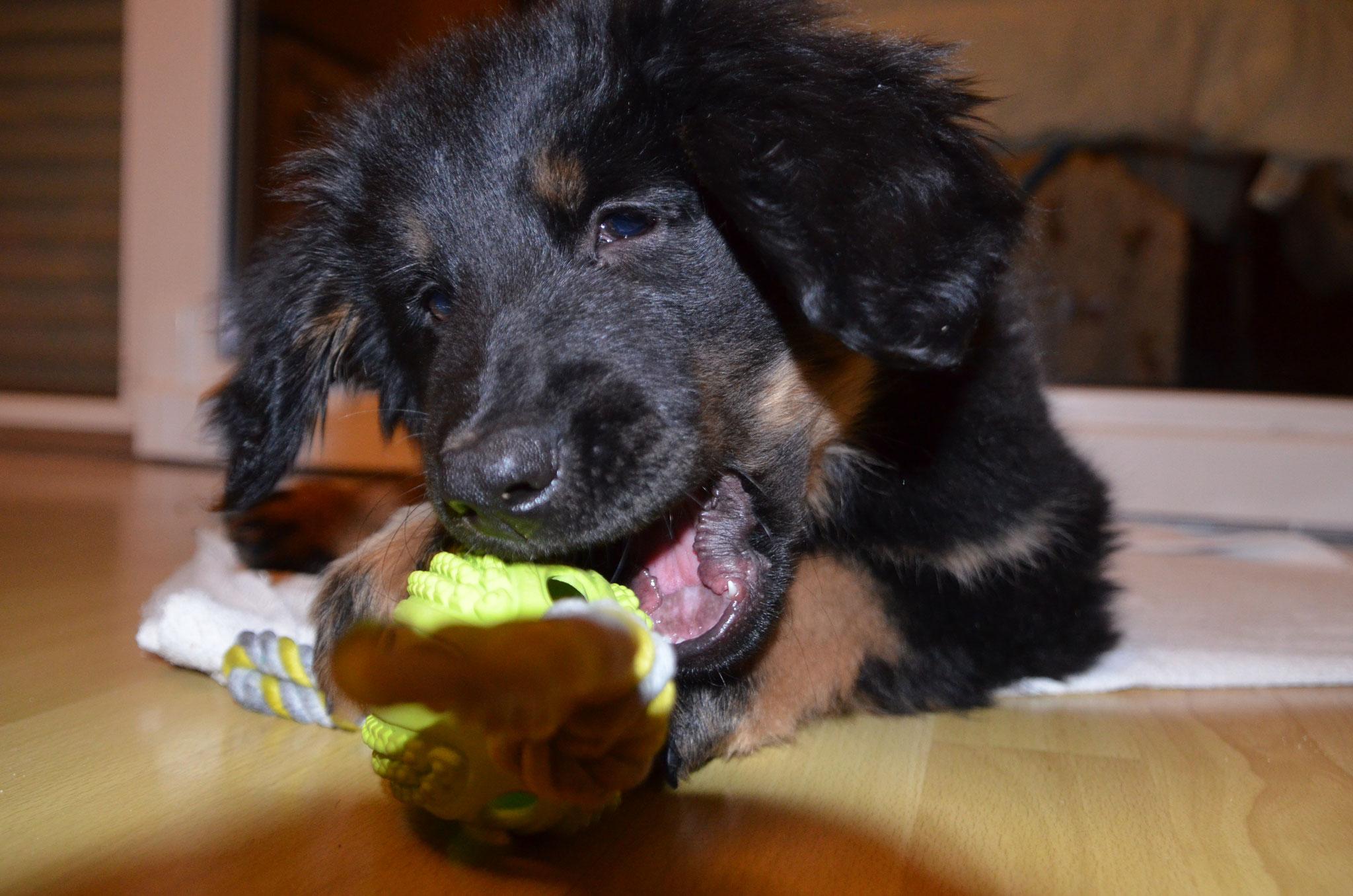 Askja ist sehr beschäftigt im neuen zu Hause (10W.)