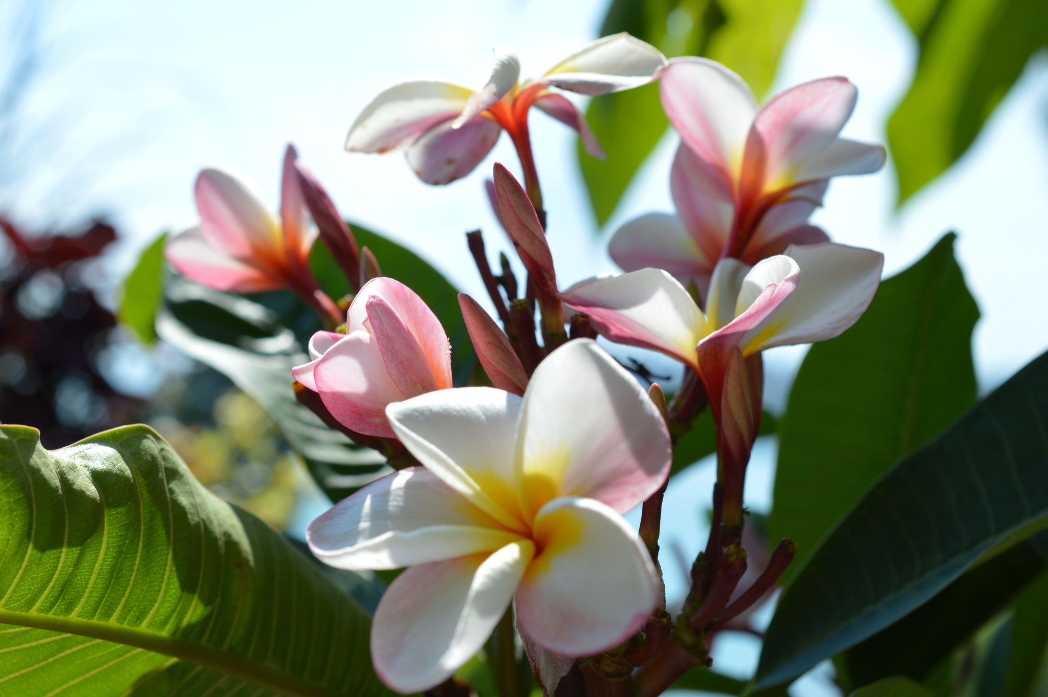 Blühte einer Plumeria / Frangipani