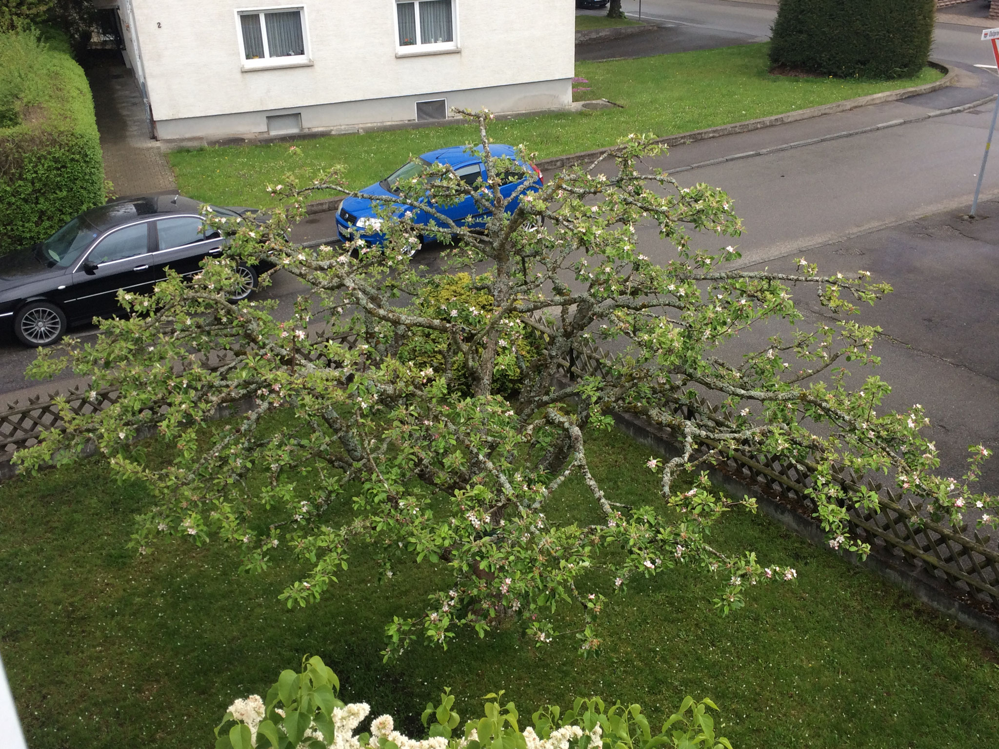 Apfelbaum schön geschnitten