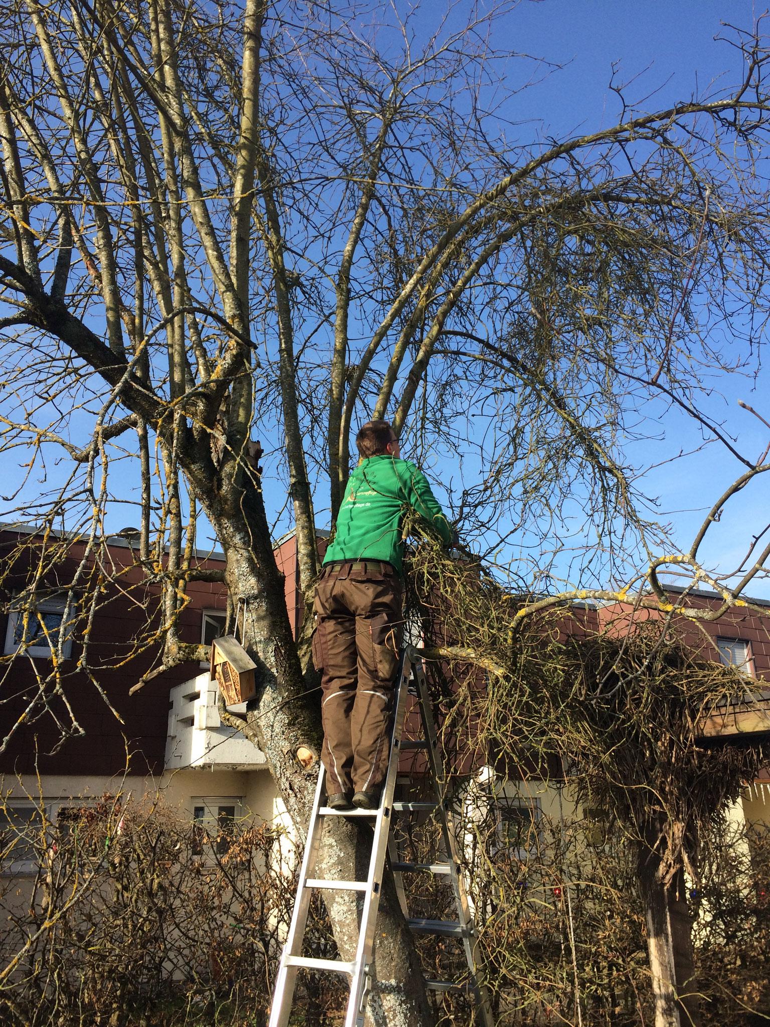 Alte Kletterpflanze aus dem Baum entfernen I