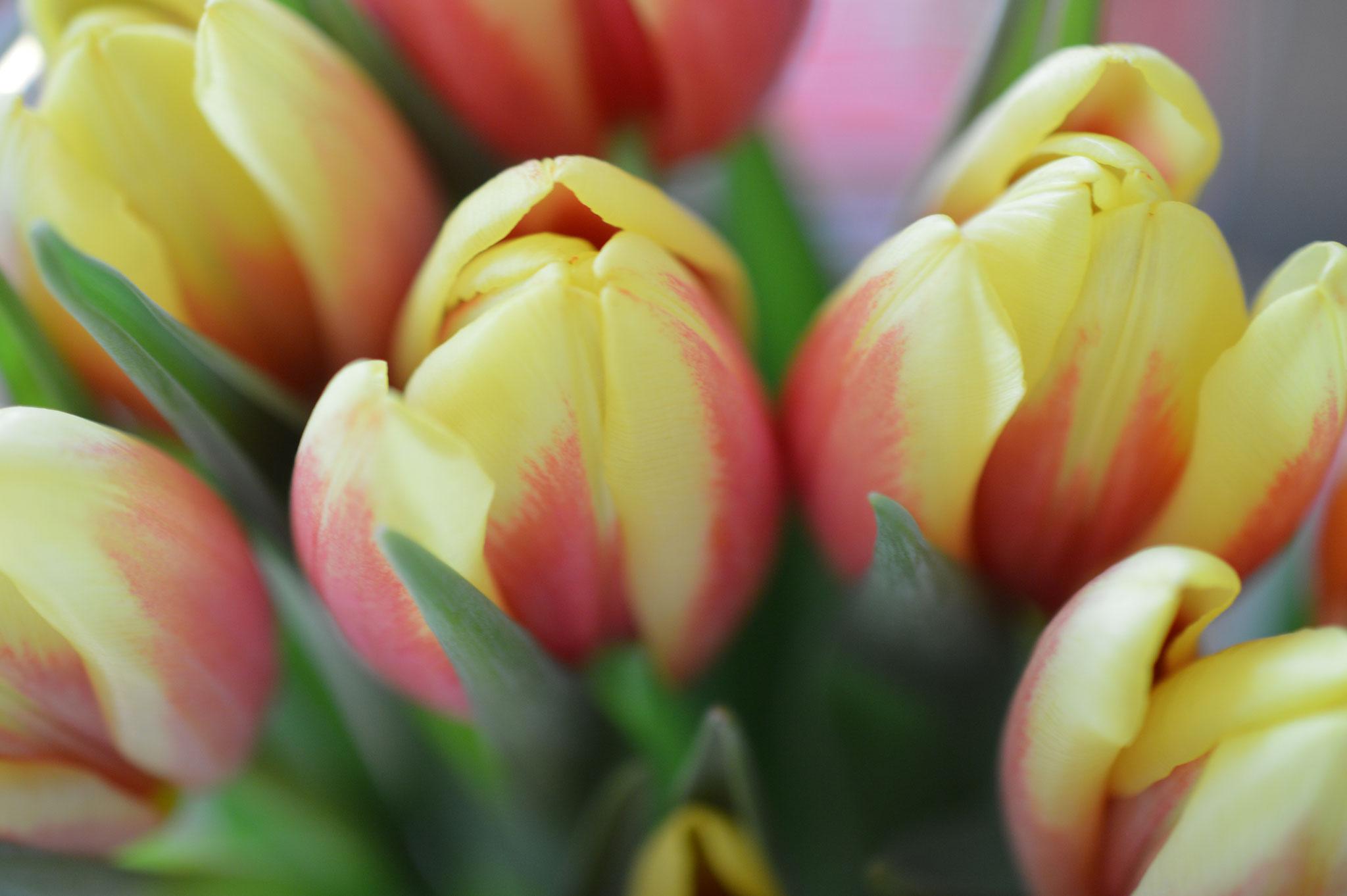 Nochmal Frühling - auch wieder schöne rote-gelbe Tulpen