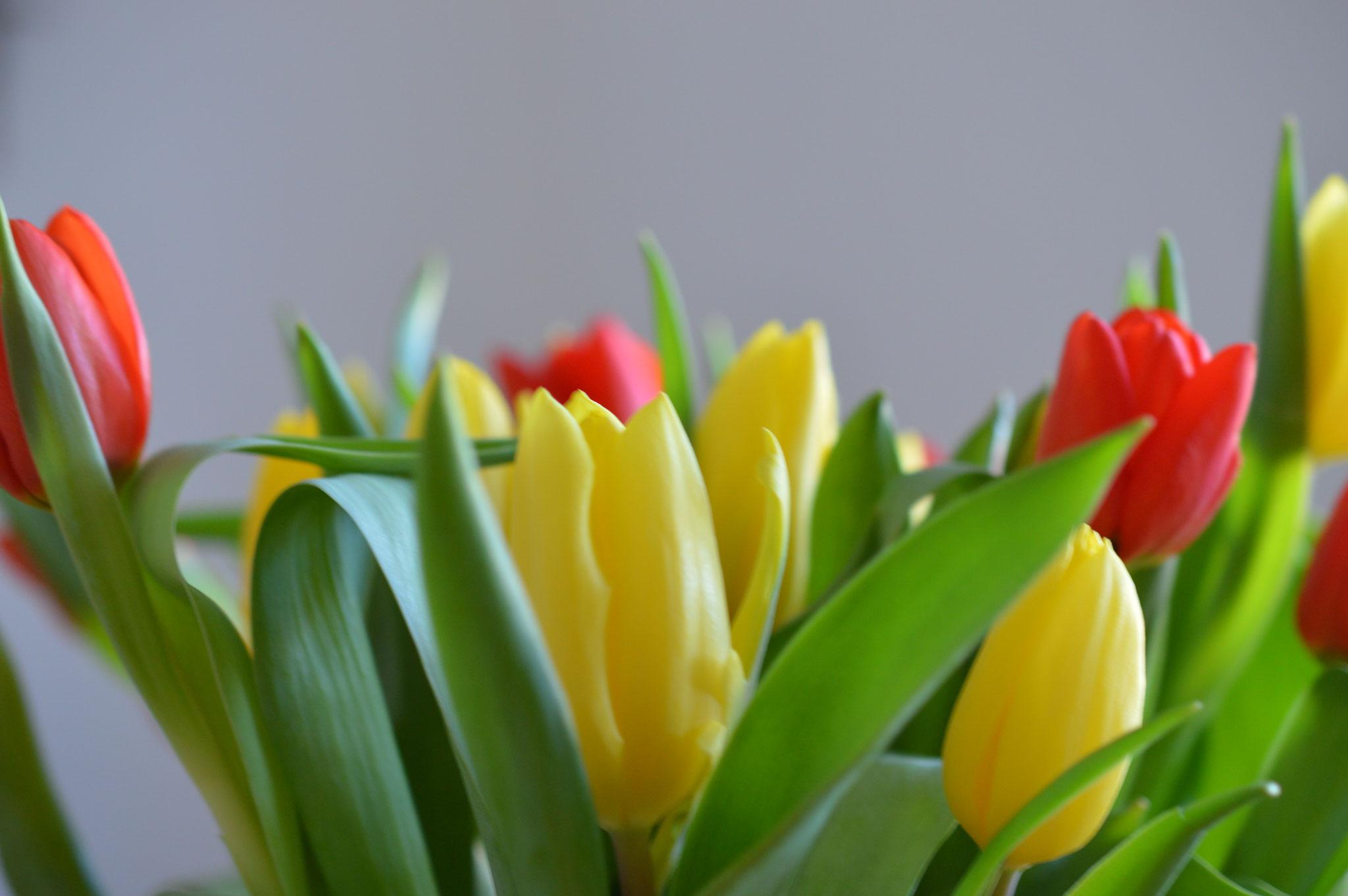 Der Frühling ist da - rote und gelbe Tulpen