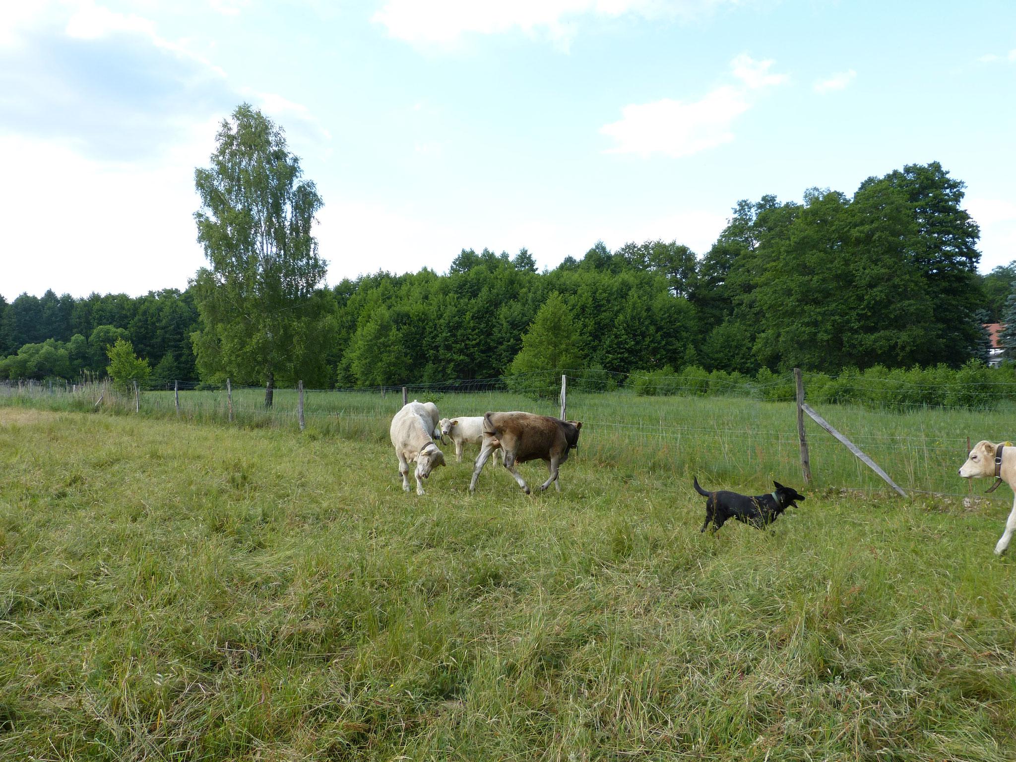 Ausgelassen springen sie auf der Weide herum.