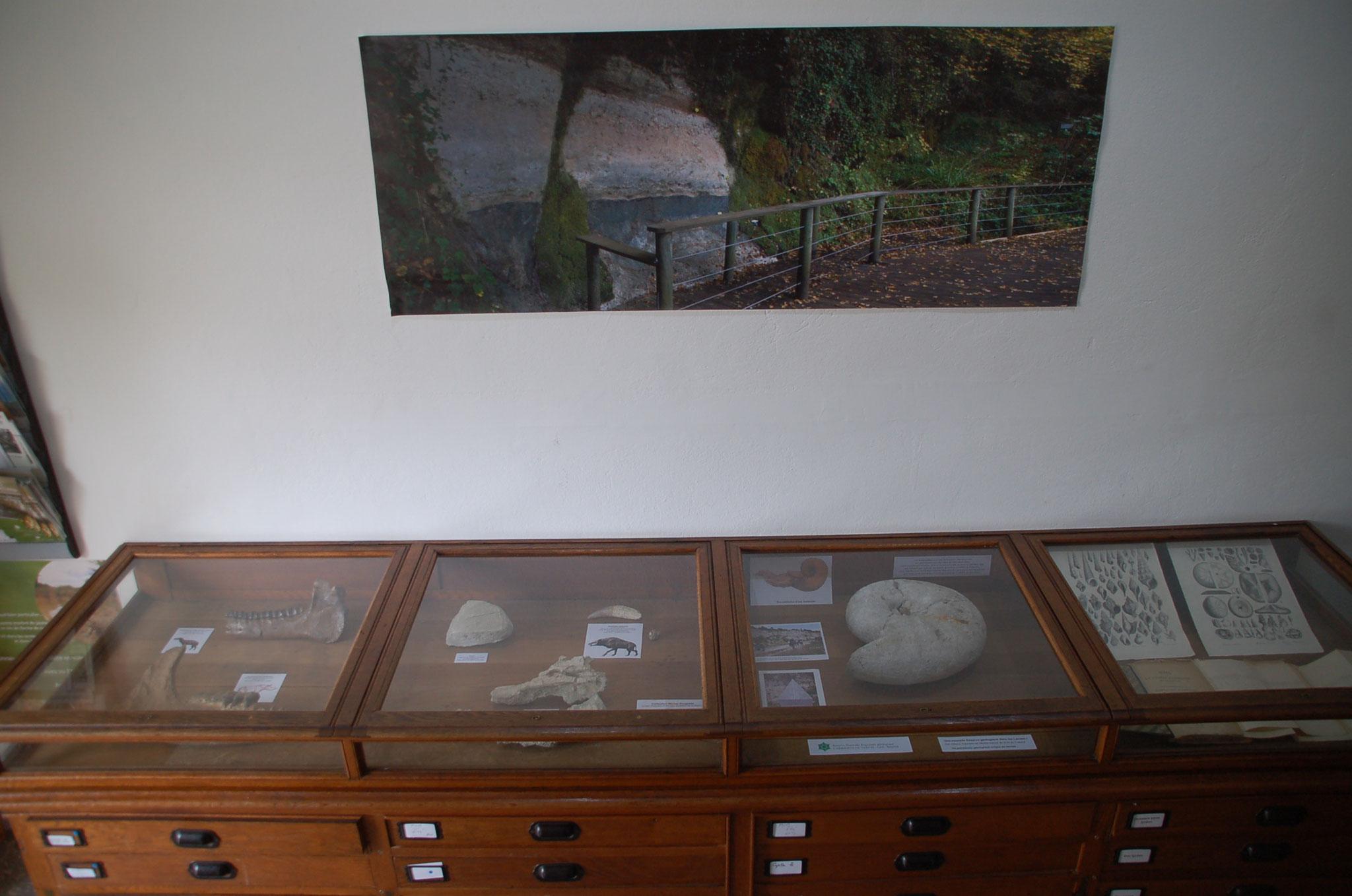 Première vitrine : ammonites et rhinocéros