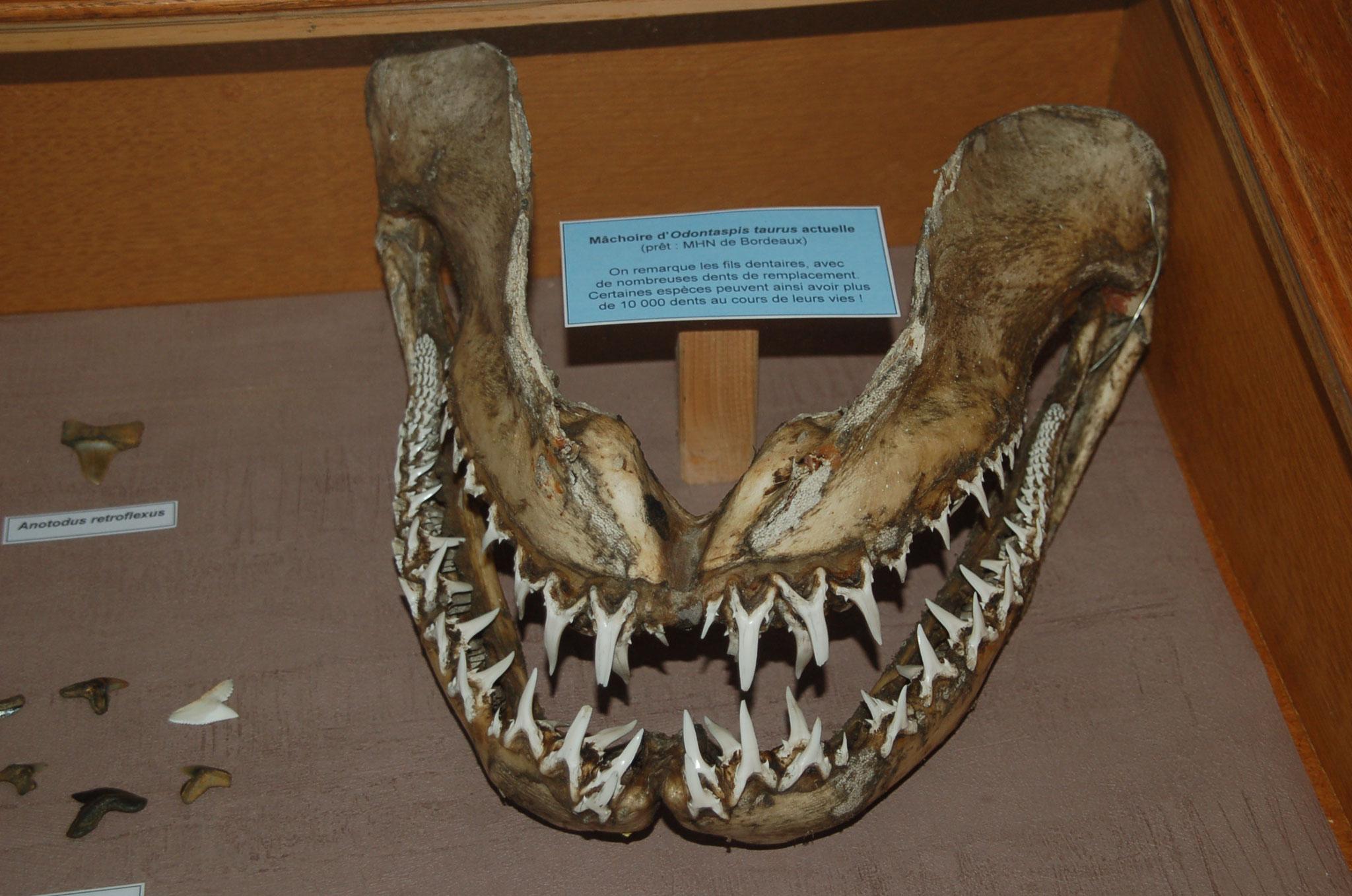 Mâchoire de Requin-taureau