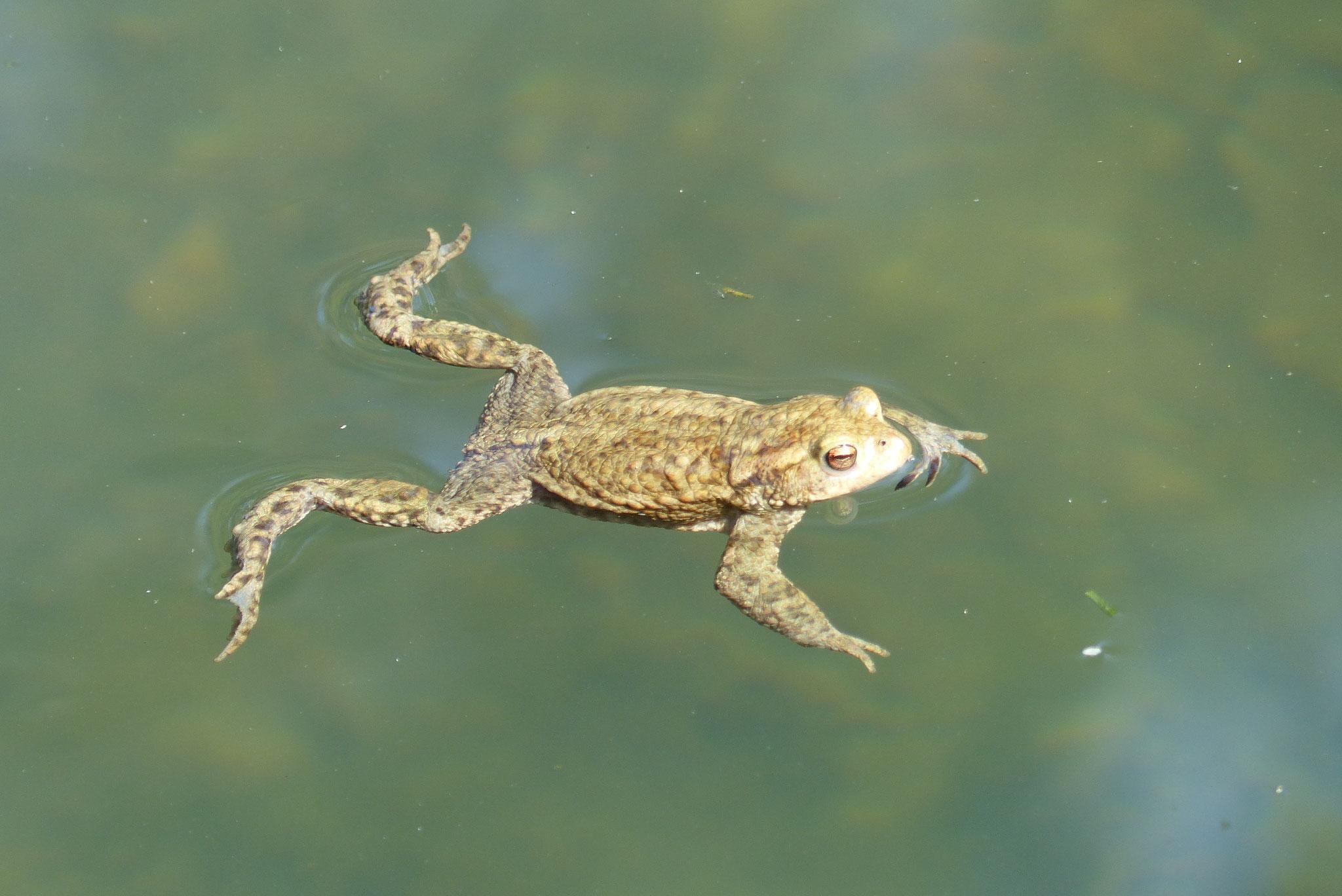 Erdkröte am Ziel der langen Wanderung (Foto: M. Wolschke)