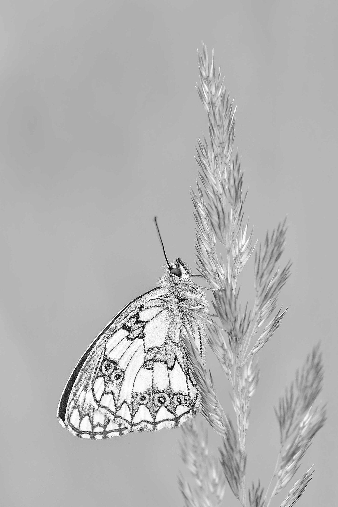 Papillon Demi-deuil face ventrale