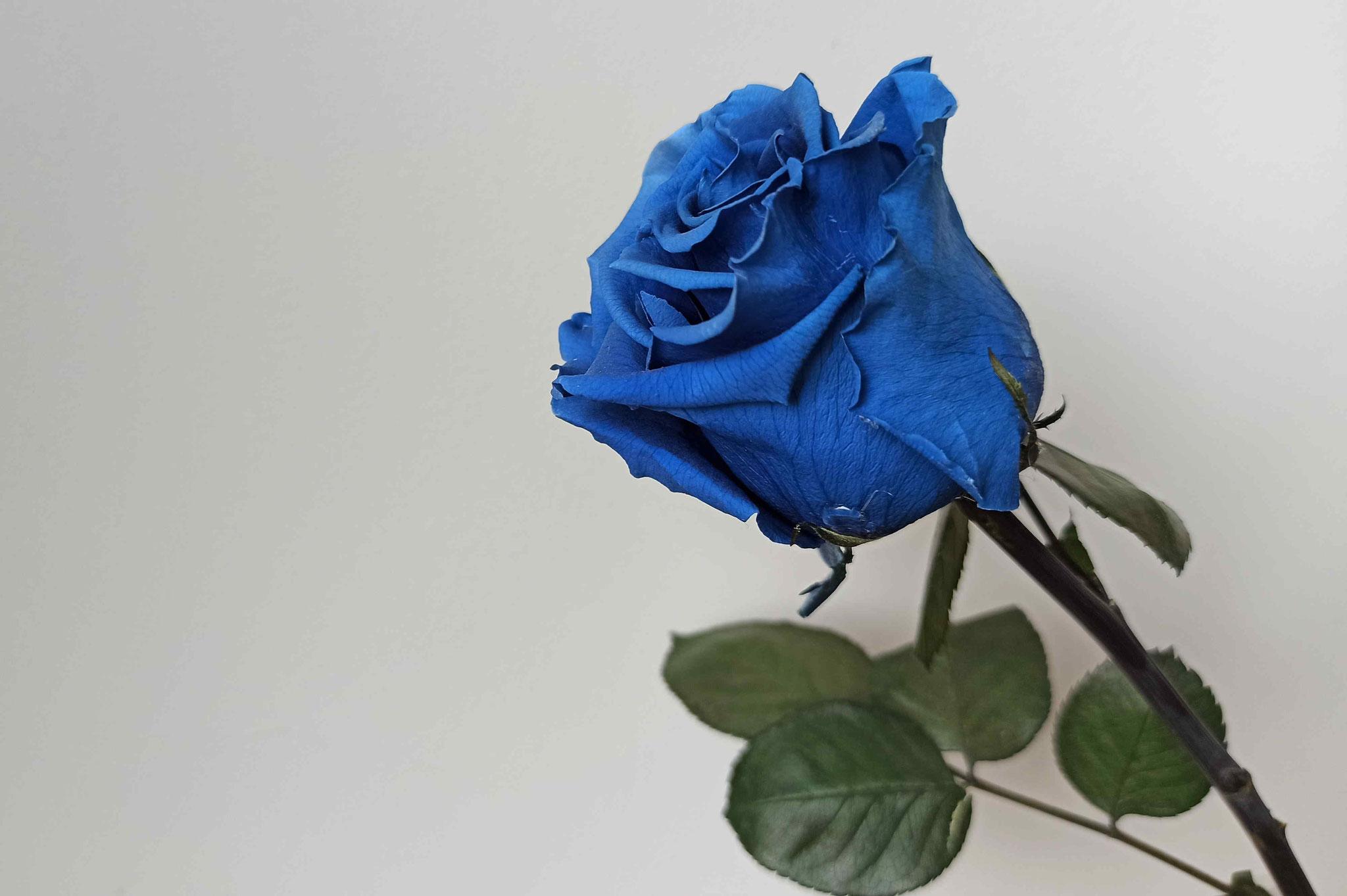 Rose bleue © Atelier Marlène Vidal