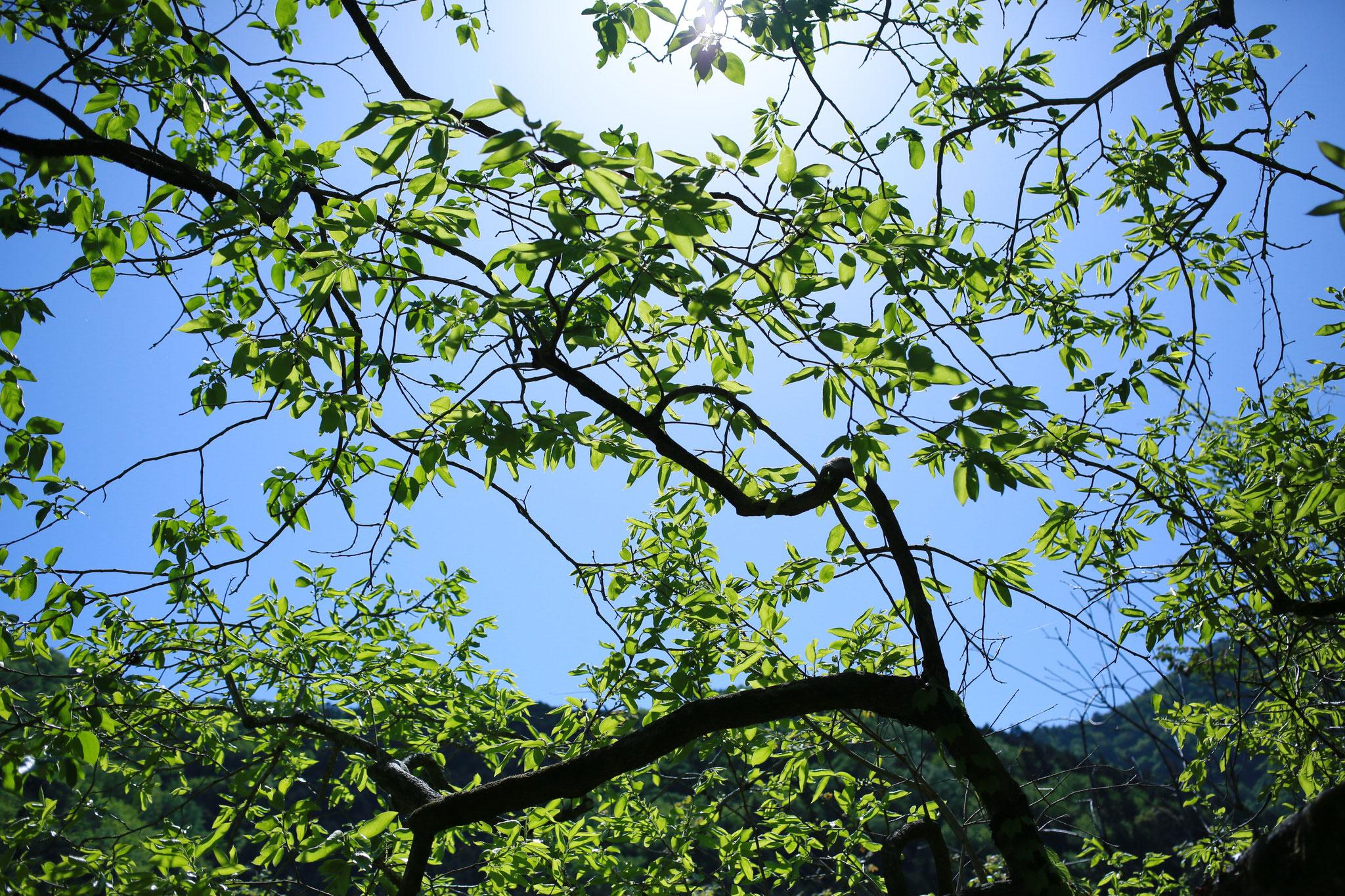 癒しの木工ギャラリー敷地内の柿の木