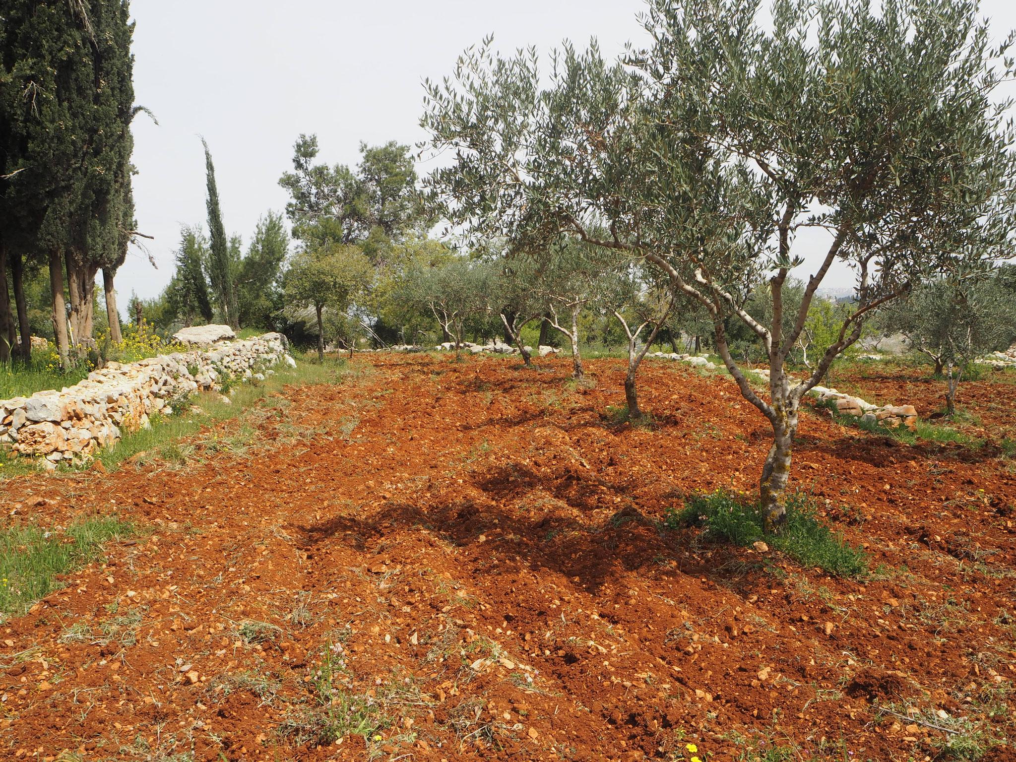 Olivenbäume als Existenzgrundlage für christliche Familien im Hl. Land