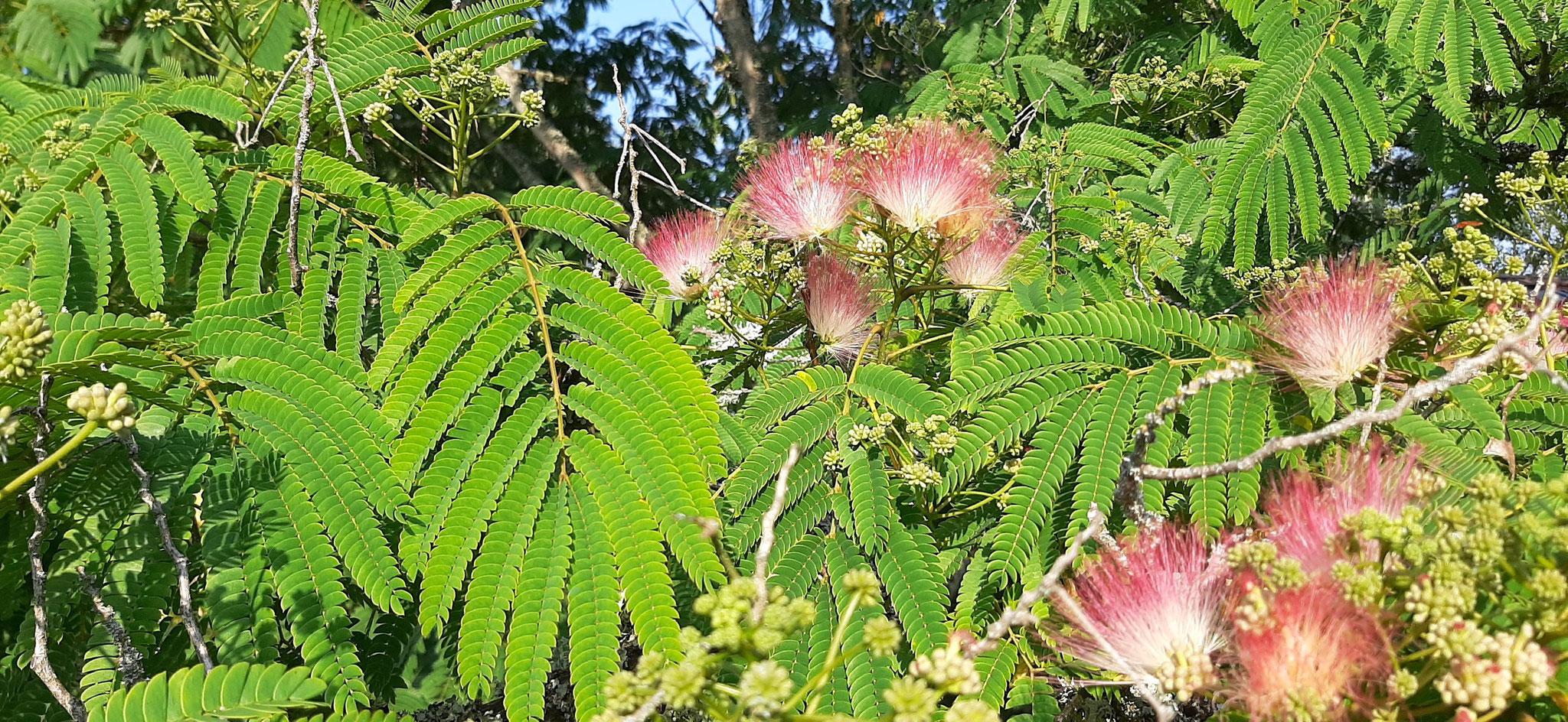 Un de nos deux arbres à soie