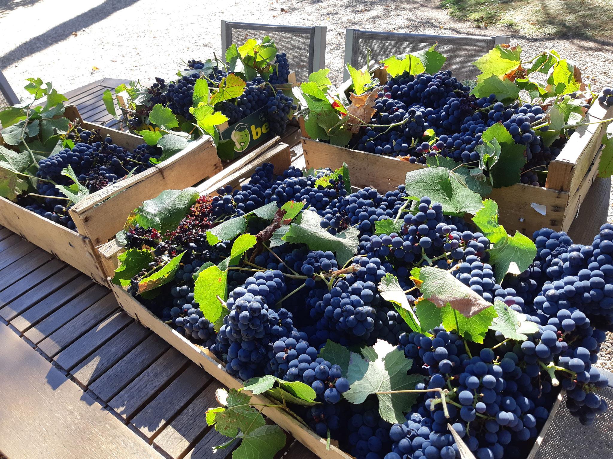 Cueillette de nos raisins