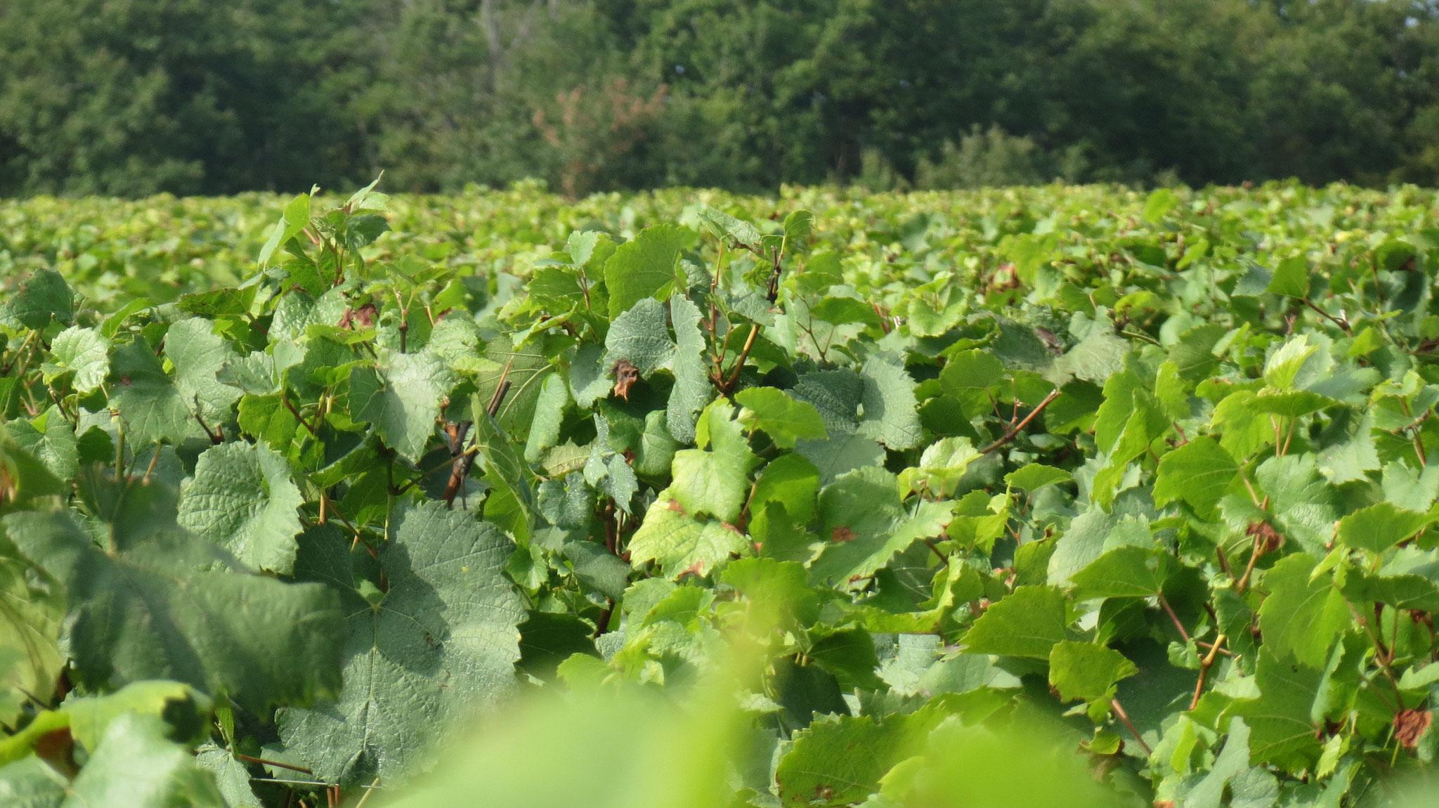 Vineyards in Mercurey
