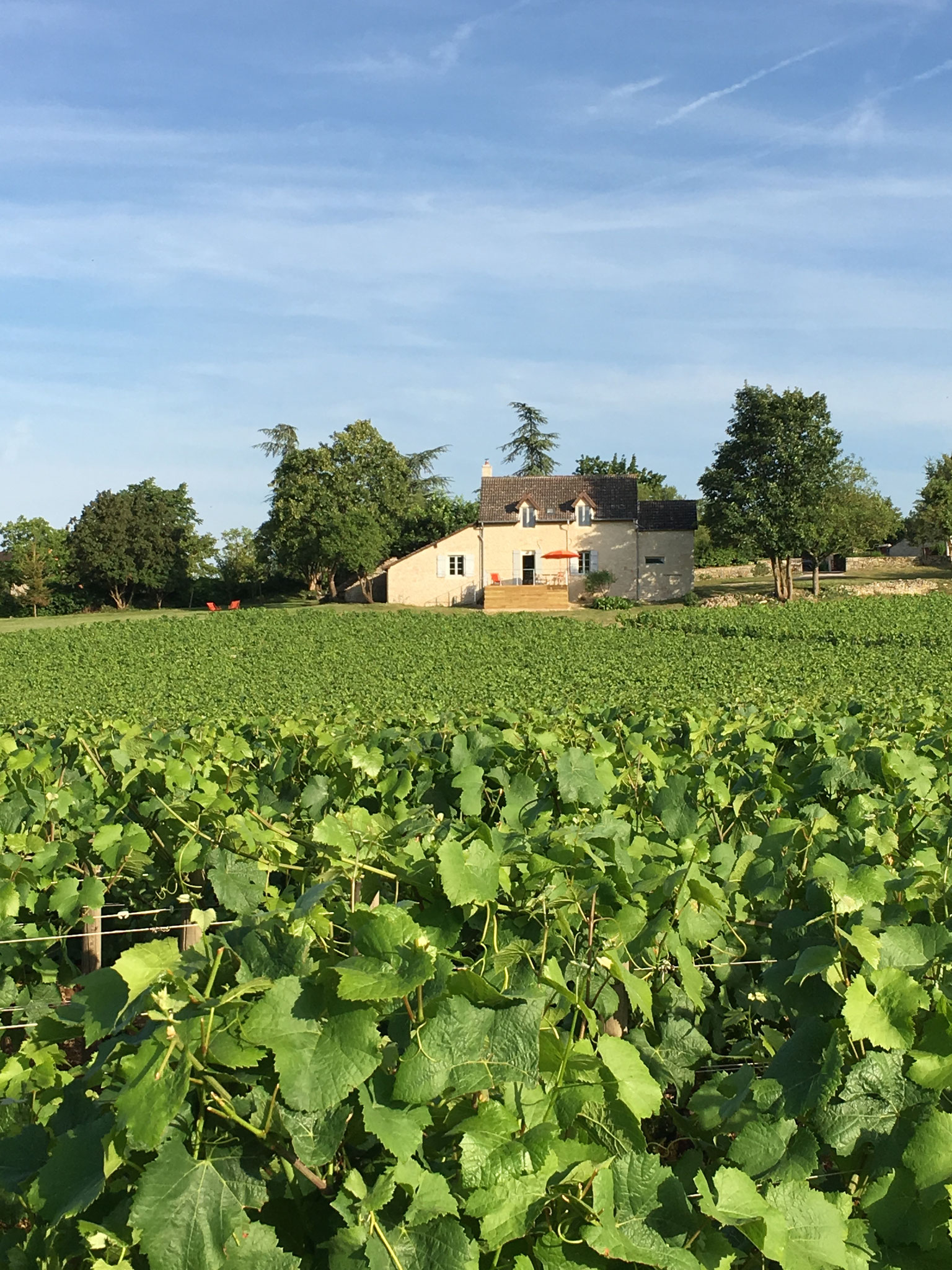 The vineyard in front of the guest house