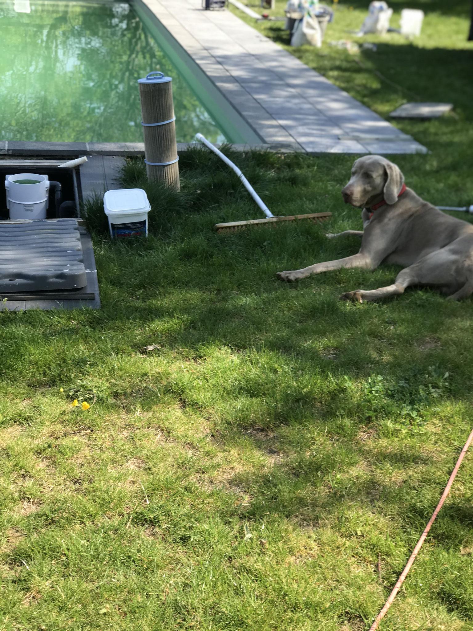 Le chien maître des travaux