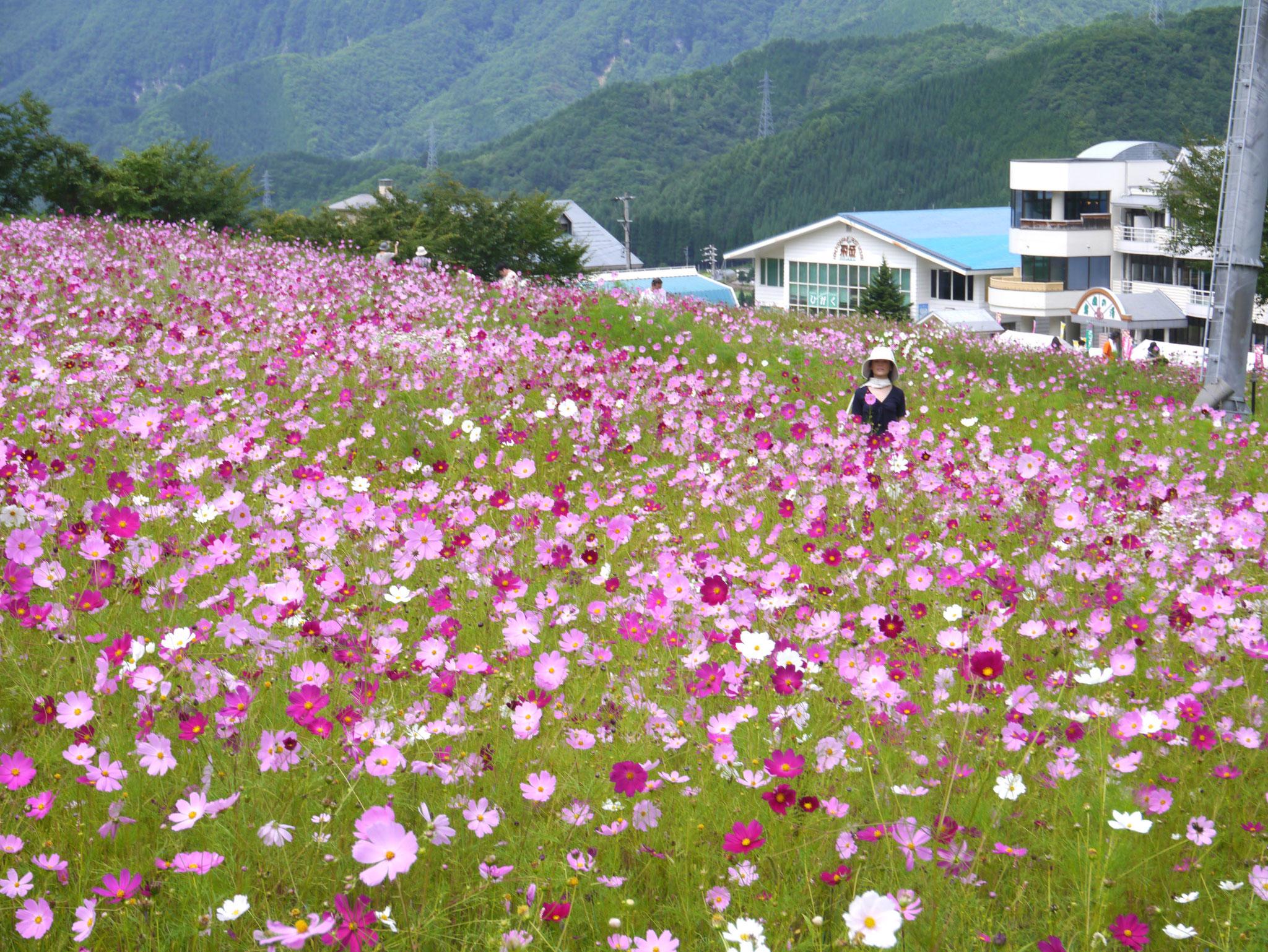 朴の木コスモスまつり(丹生川町)