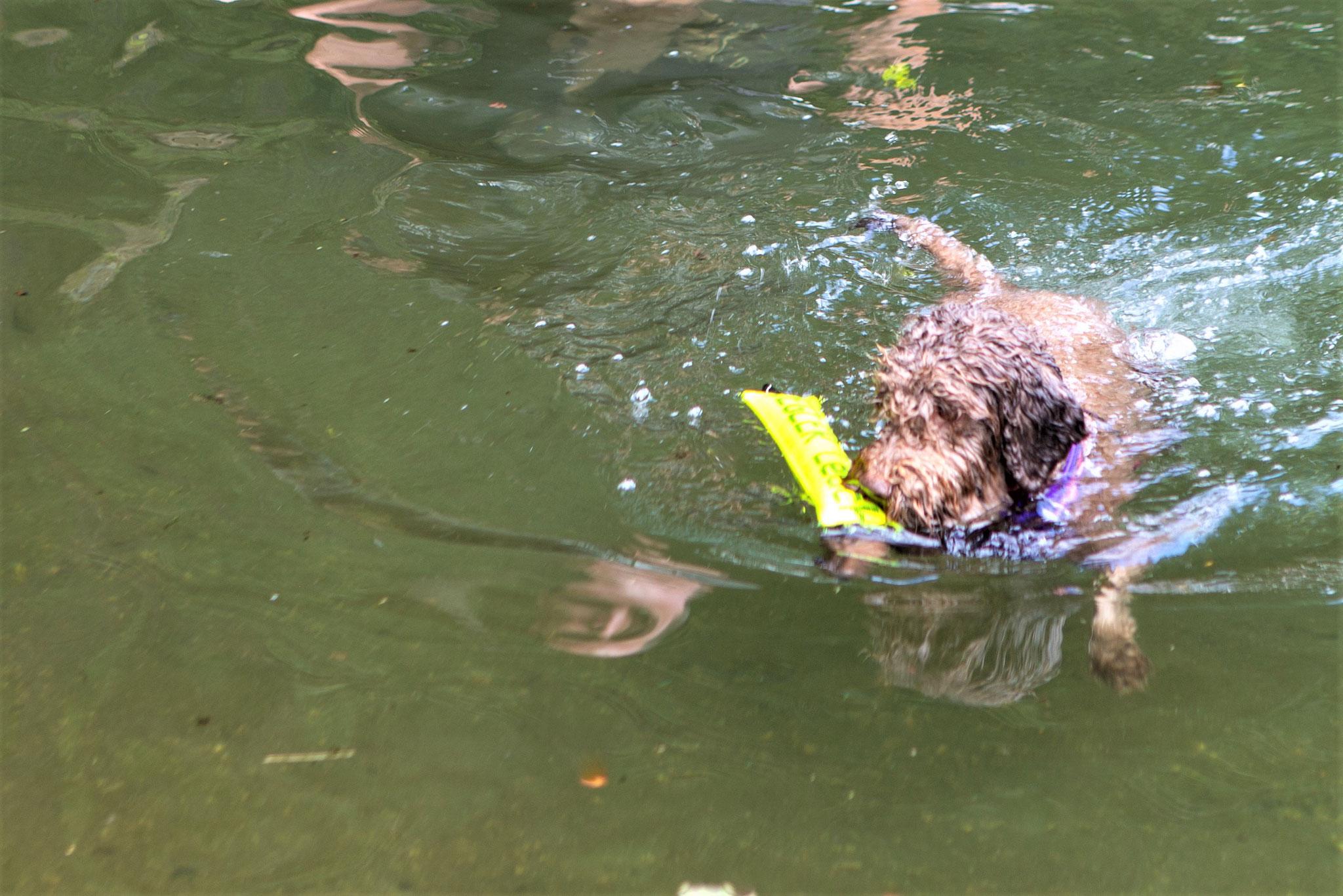 schwimmt ruhig und kann den Dummy auch noch mitbringen.