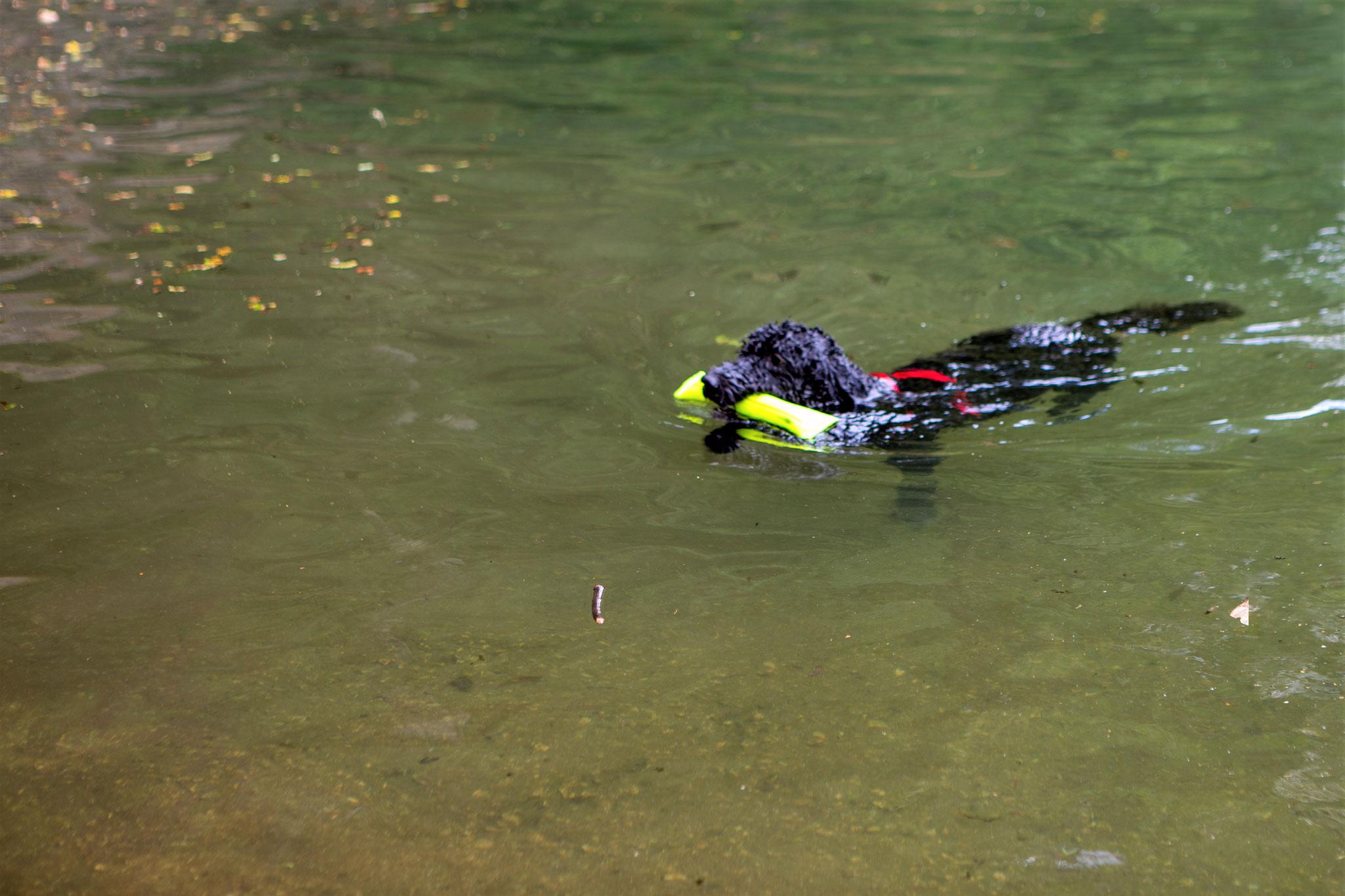 Nach einigen Malen schwimmt sie souverän mit Dummy im Maul ...