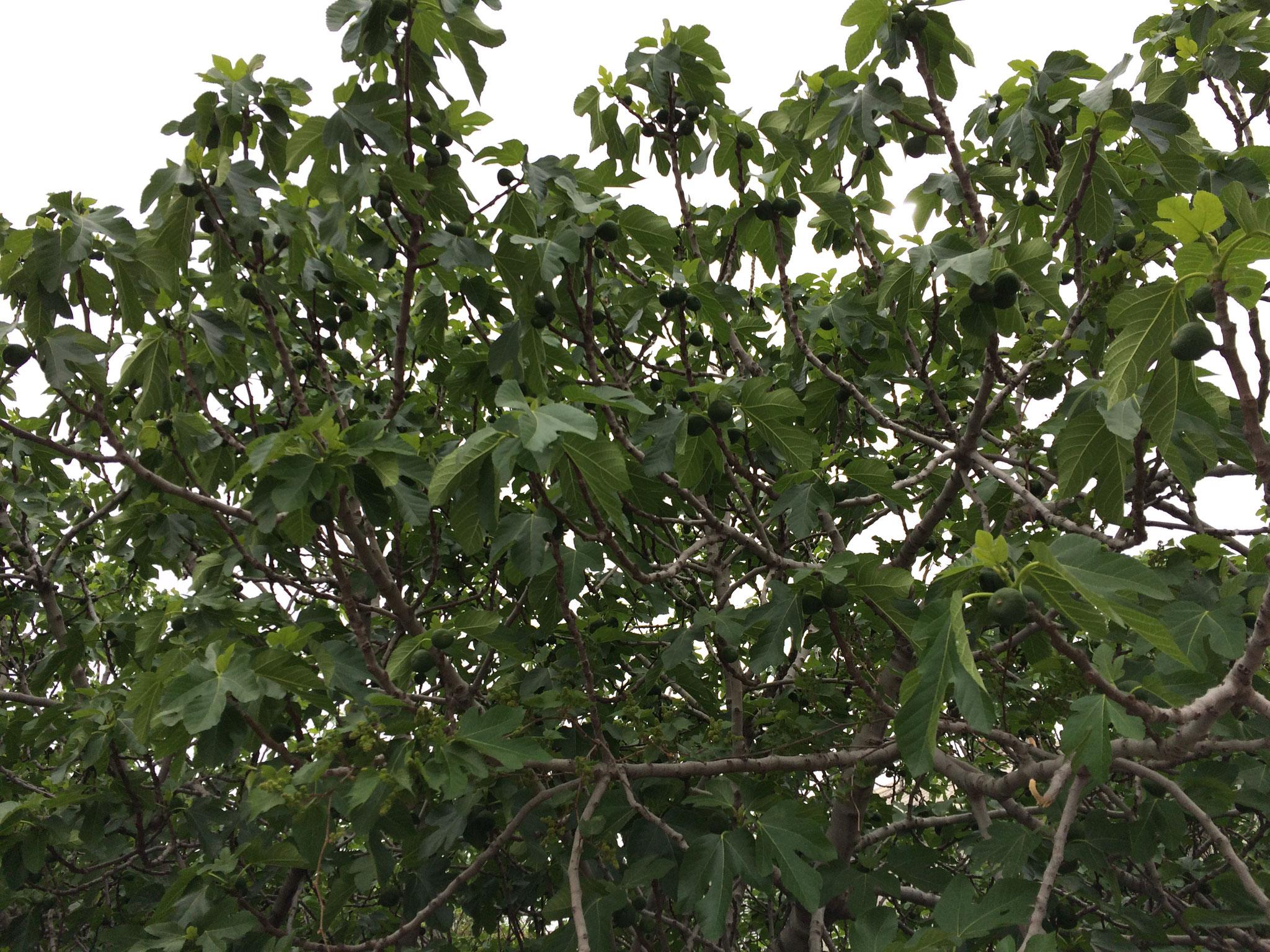 Riesige Feigenbäume wachsen dort wild und überall.