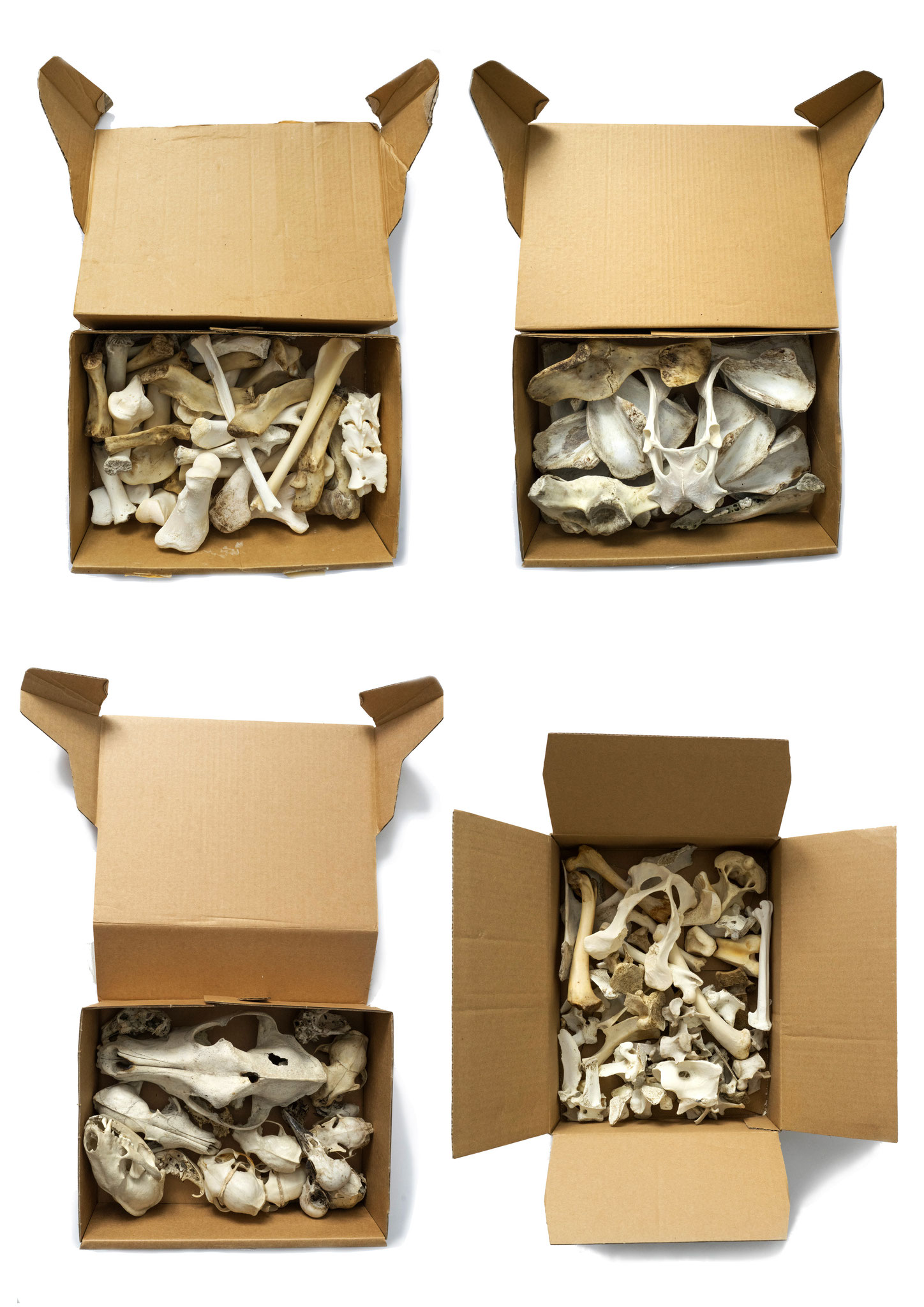 4 Boxes, 2015, cardboard boxes filled with bones, each ca. 25x60x15cm