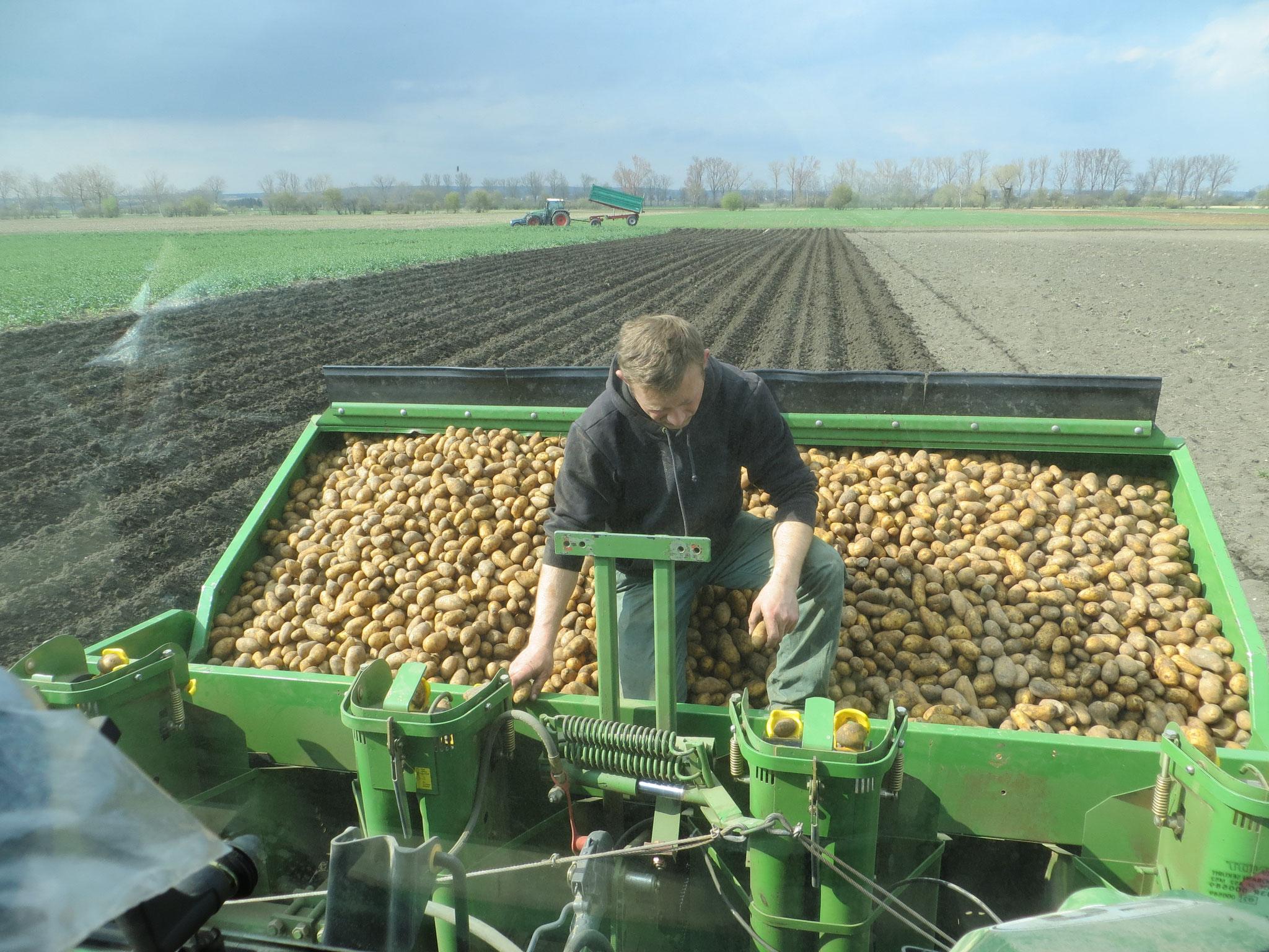 Kartoffellegen 2016: Die einzelnen Kartoffeln werden durch die Maschine in den Damm gelegt.