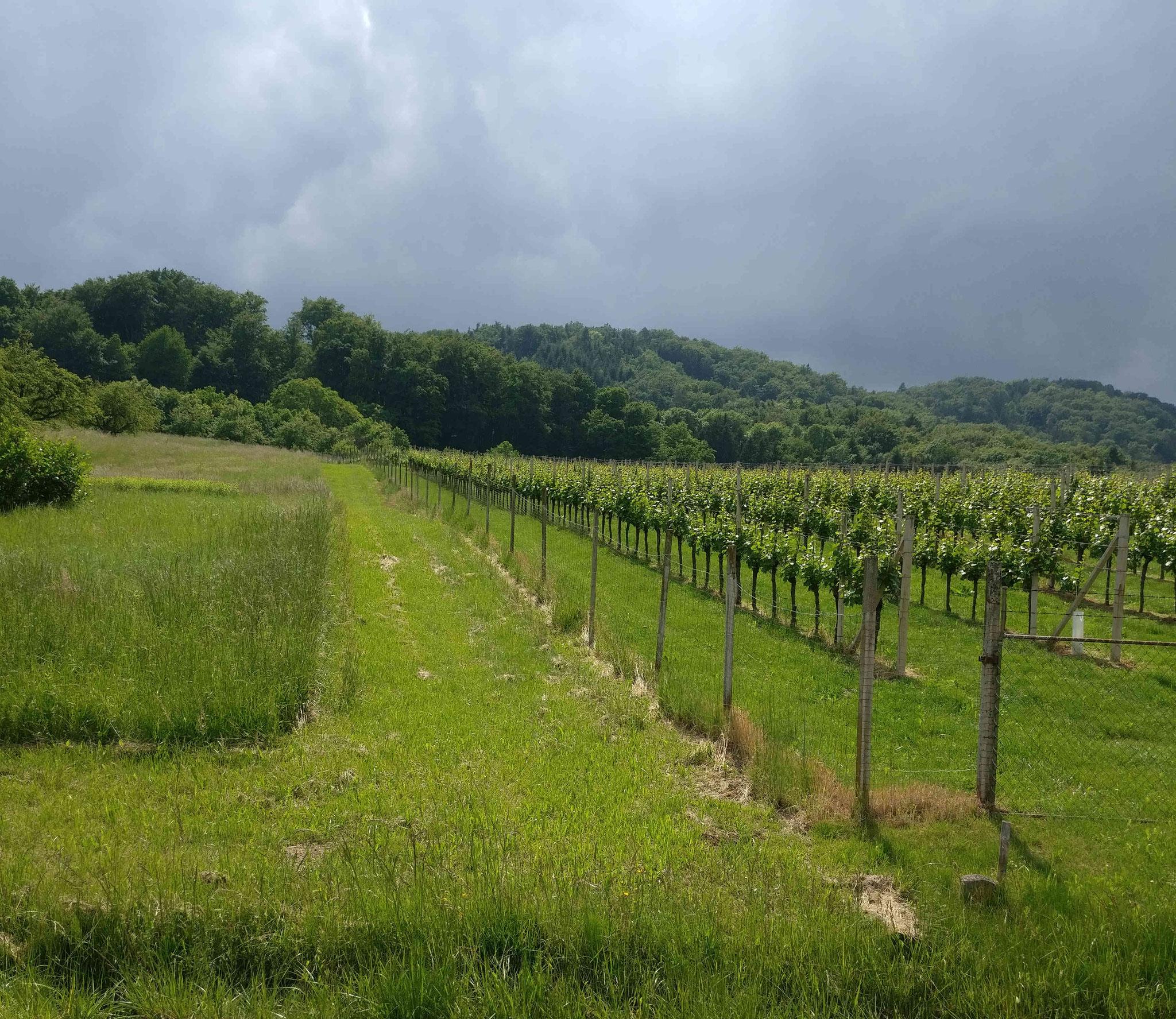 Weingärten bei Tieschen