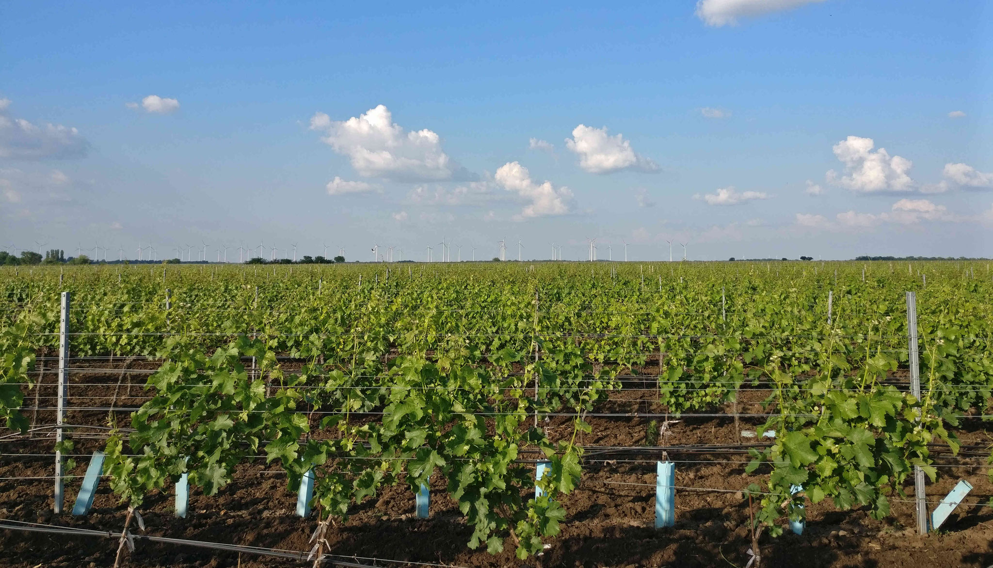 Ausgedehnte flache Weingärten an der Ostseite des Neusiedlersees
