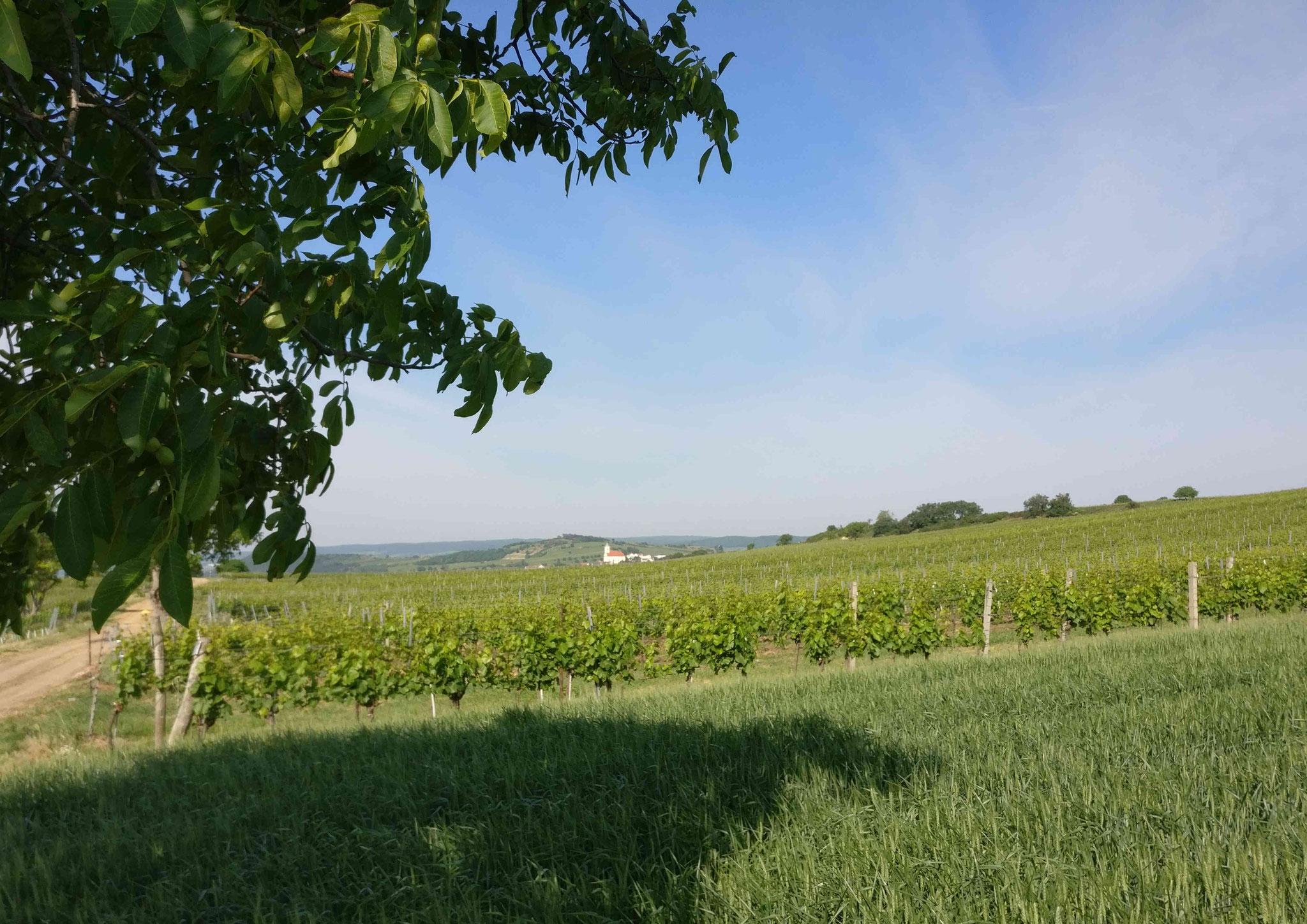 Weingärten an der Westseite des Neusiedlersees. Im Hintergrund ist das Leithargebirge zu sehen