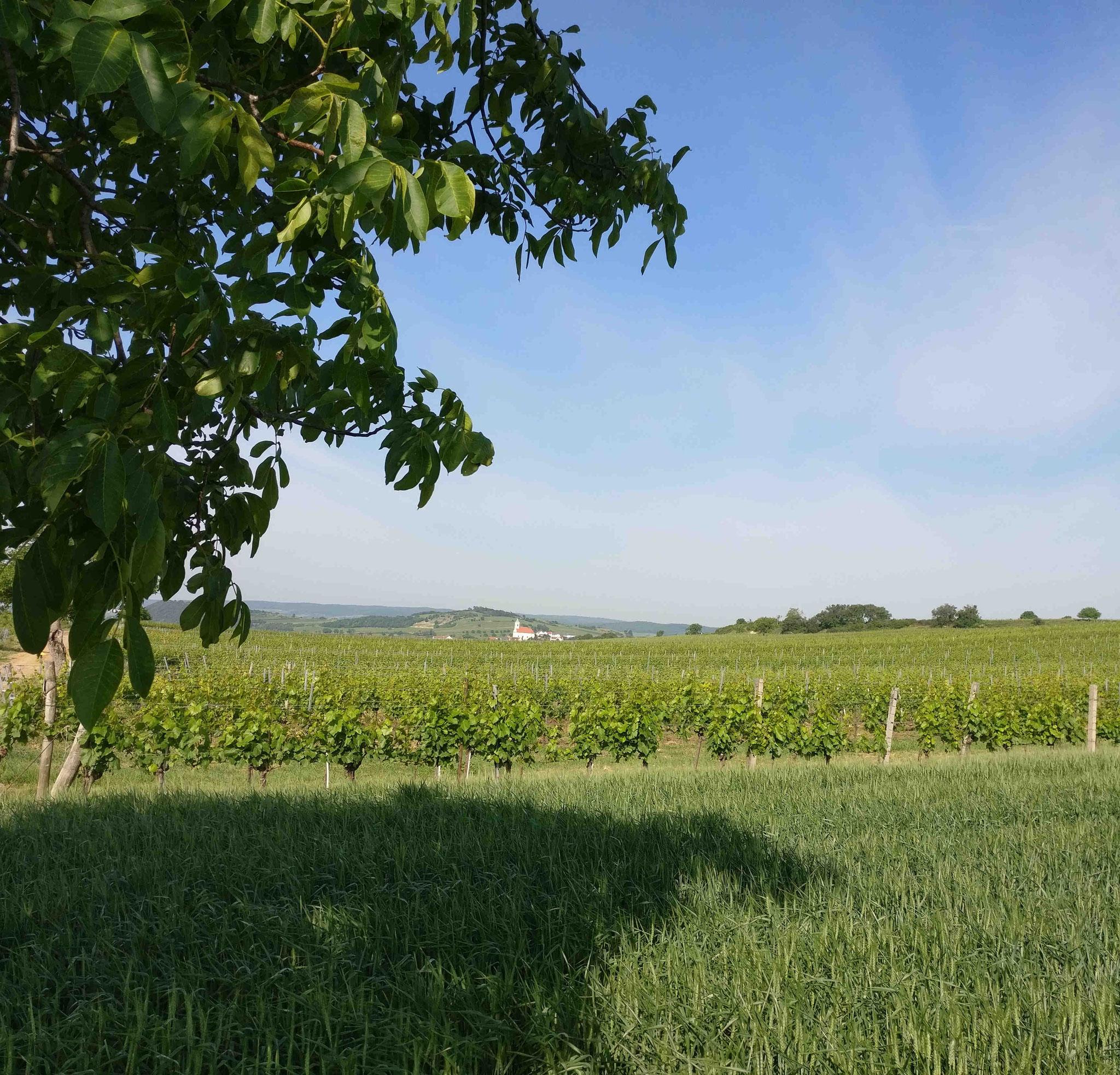 Weingärten an der Westseite des Sees mit Blick auf das Leithagebirge