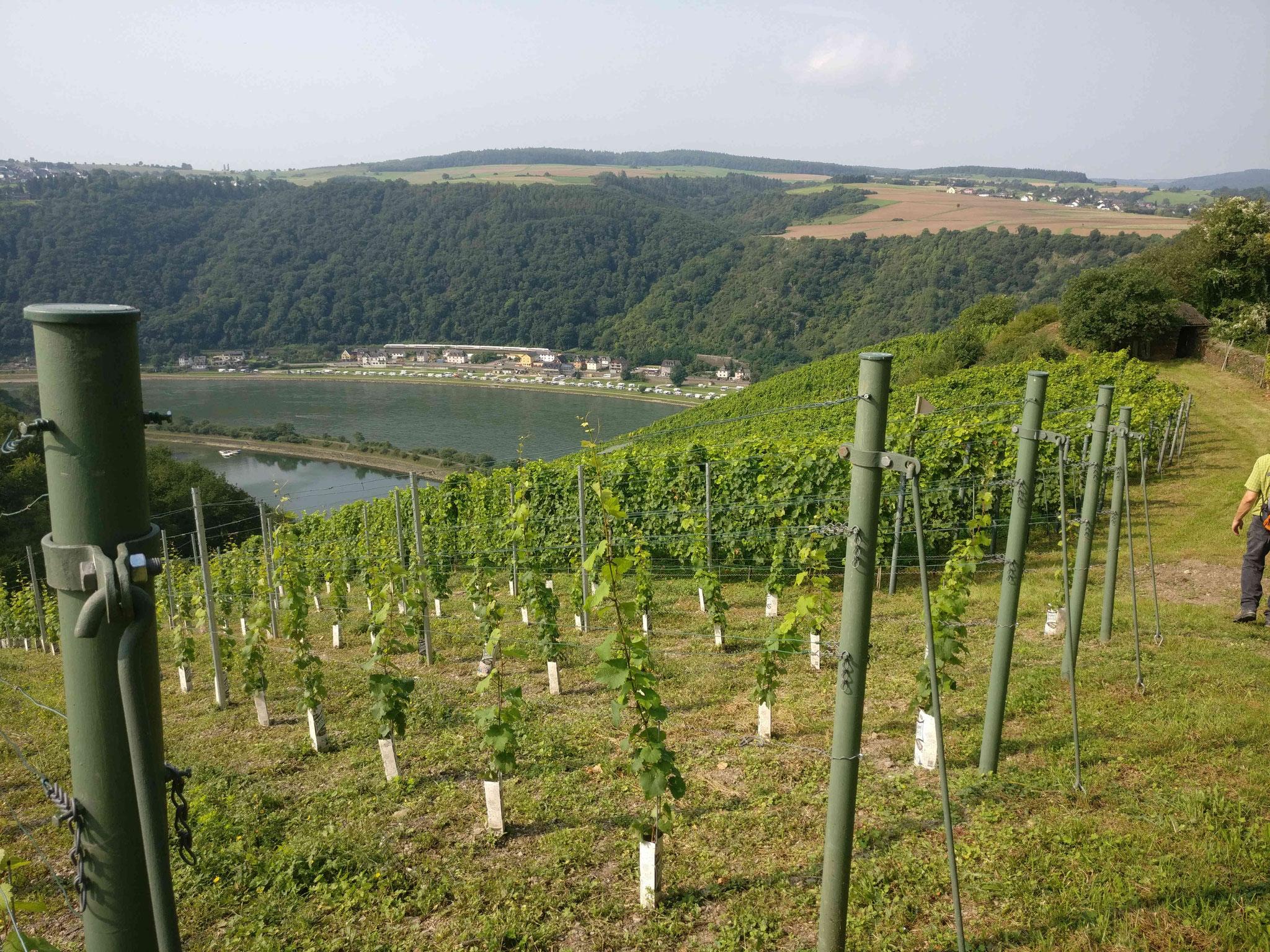"""Blick aus den Weinbergen unterhalb der Loreley im """"oberen Mittelrheintal"""" auf St. Goar"""