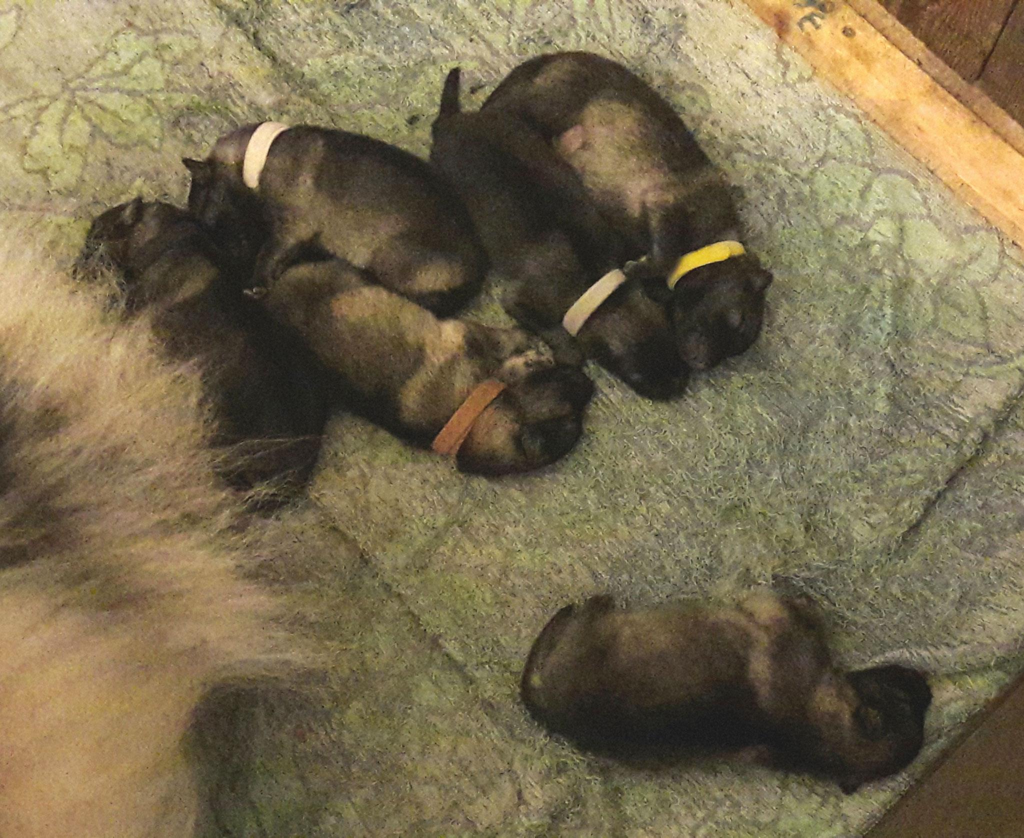 15.06.2018... Zwei Tage nach der Geburt sind die kleinen noch ziemlich müde. Die Mädels kuscheln sich schön zusammen und der Rüde hält lieber etwas Sicherheitsabstand.