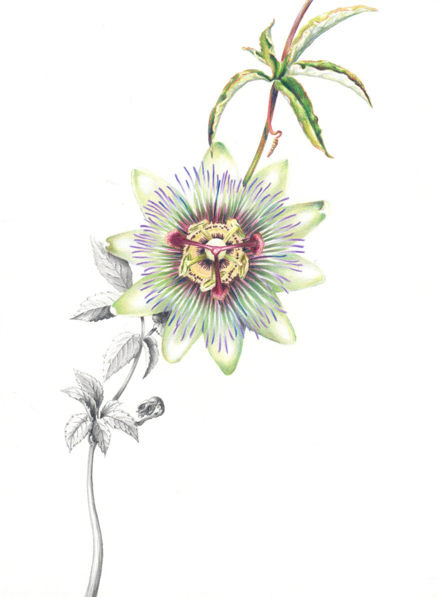 Passion Flower and Seven Leaves