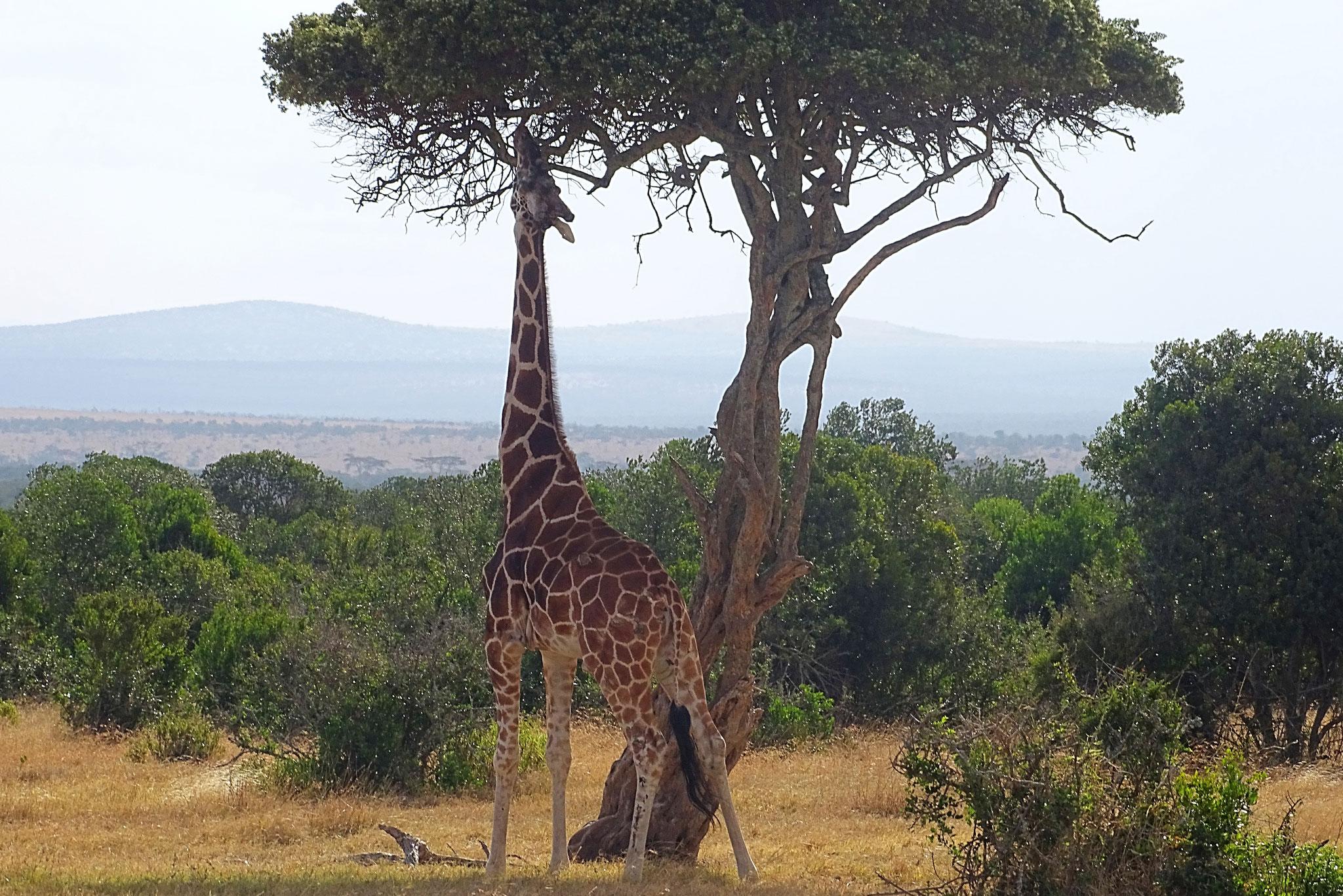 Giraffe im Ol Pejeta Conservancy