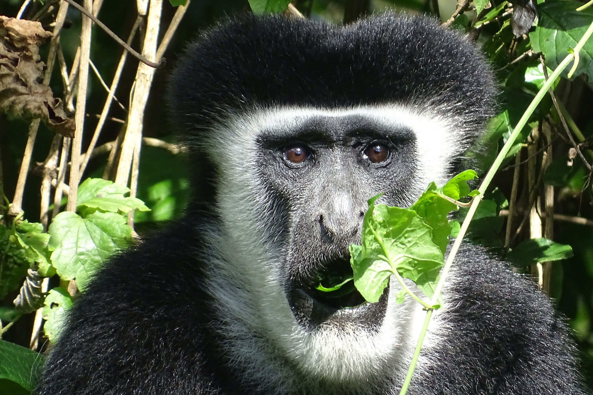 Colobus-Affen