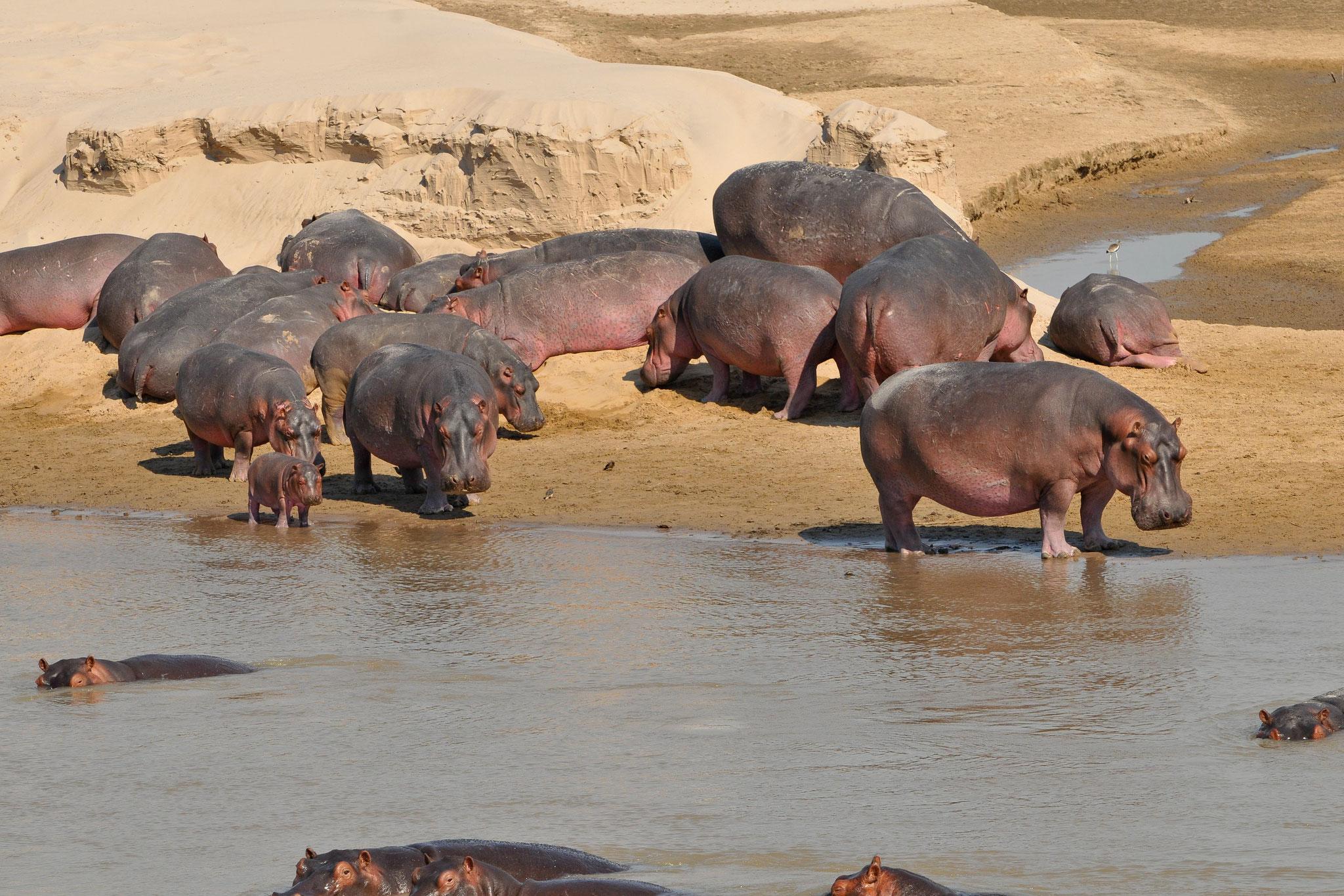 Flusspferde in Sambia