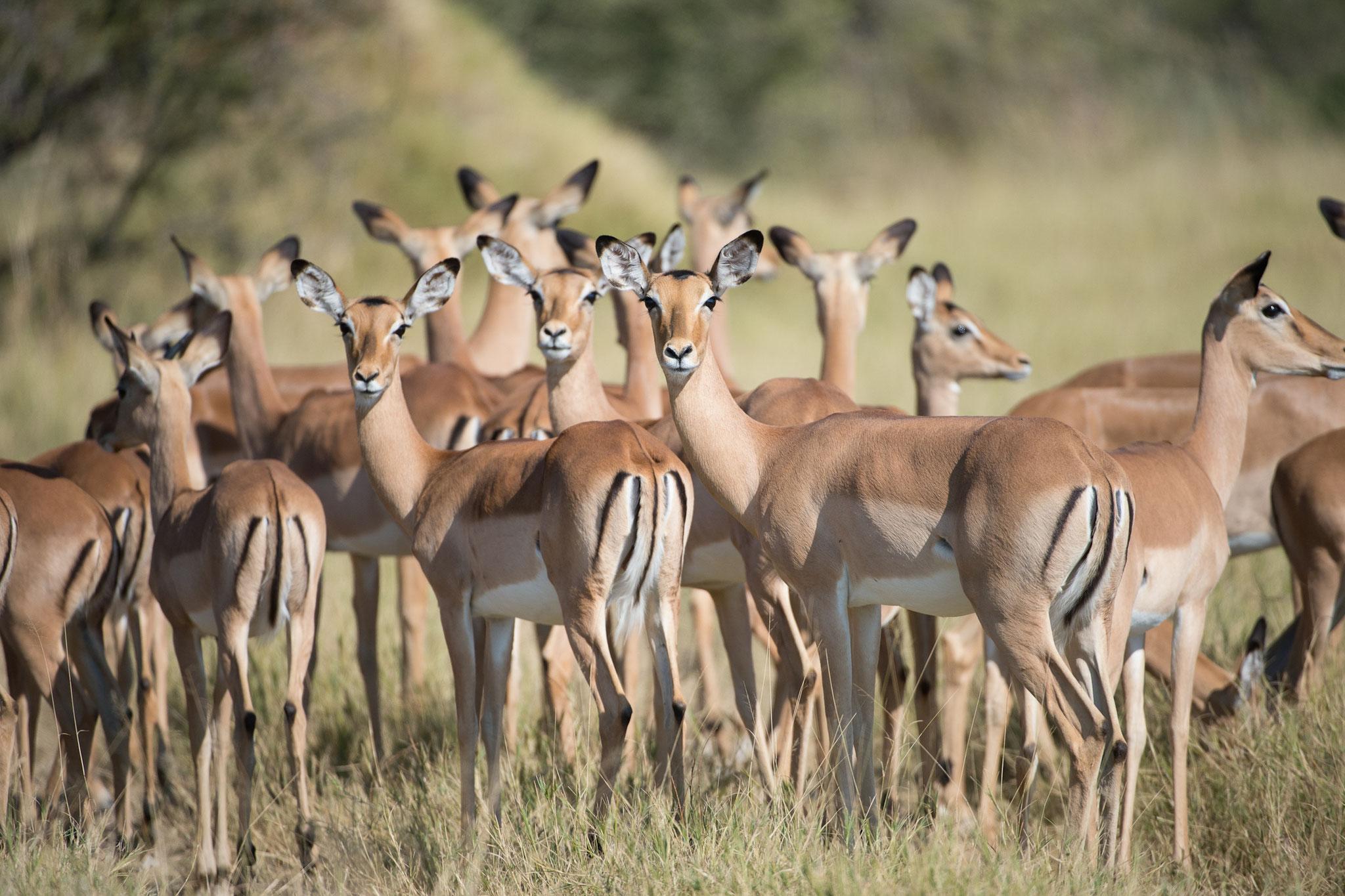 Impalas in Simbabwe