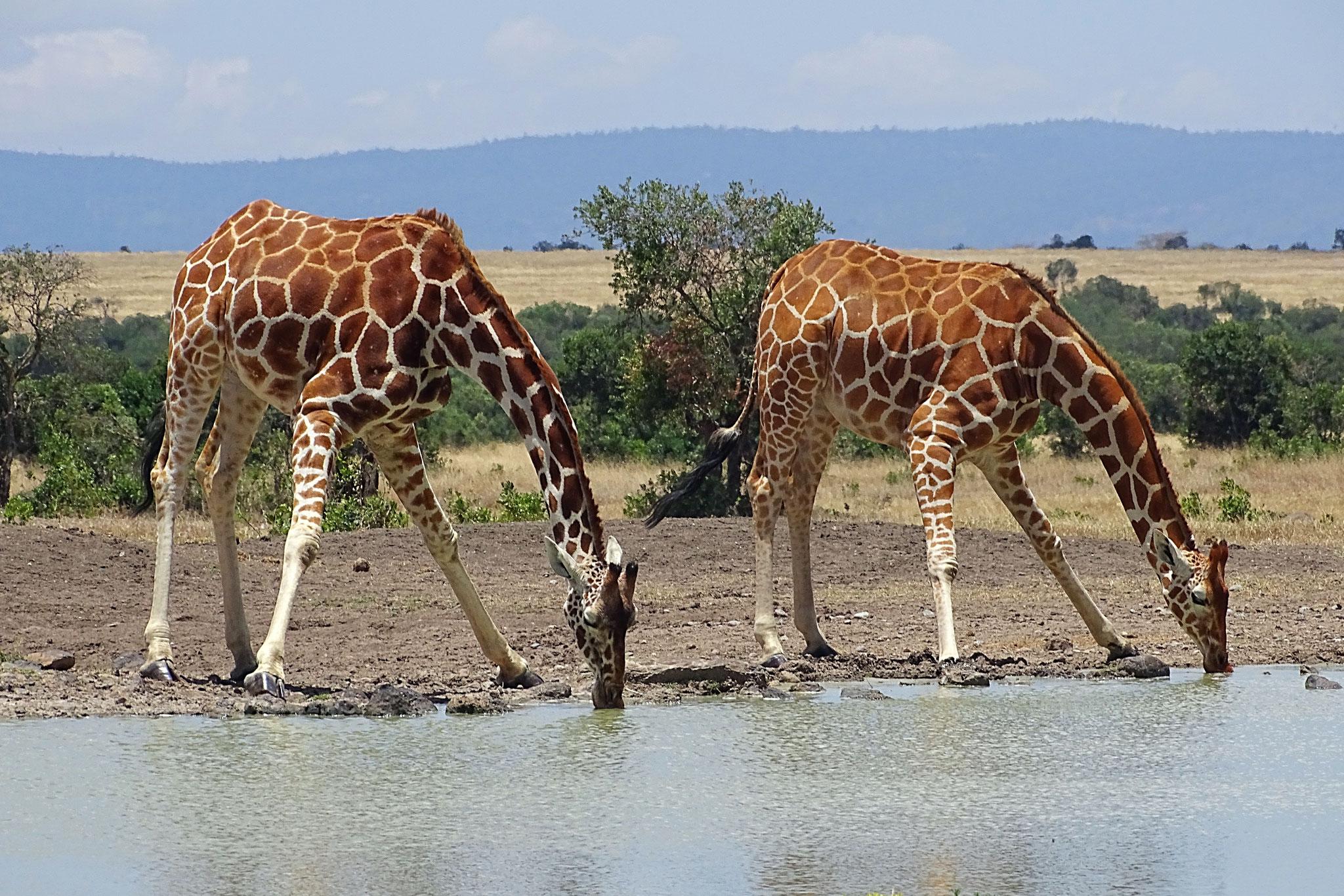 Giraffen in Ol Pejeta