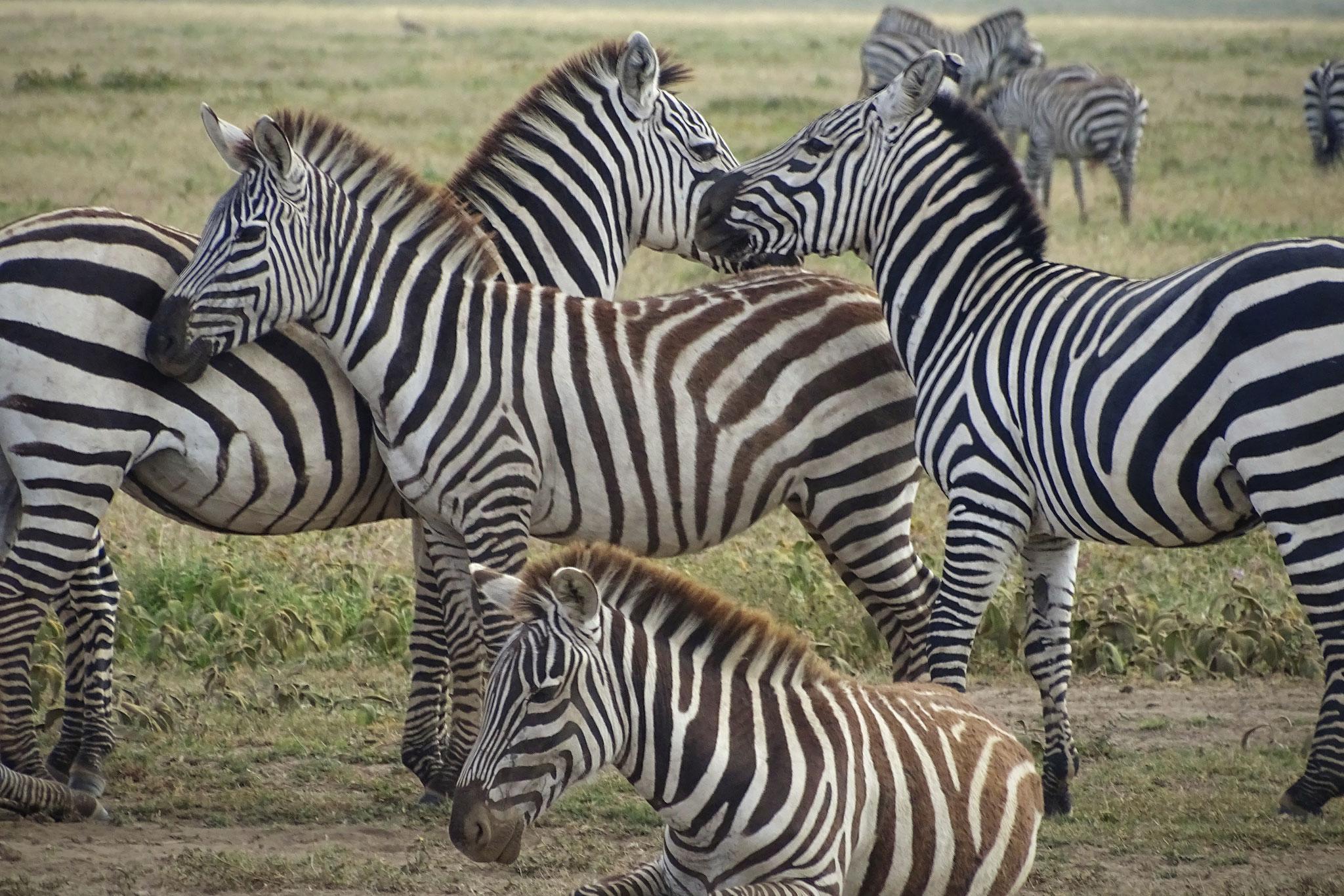 Zebras im Ngorongoro Krater