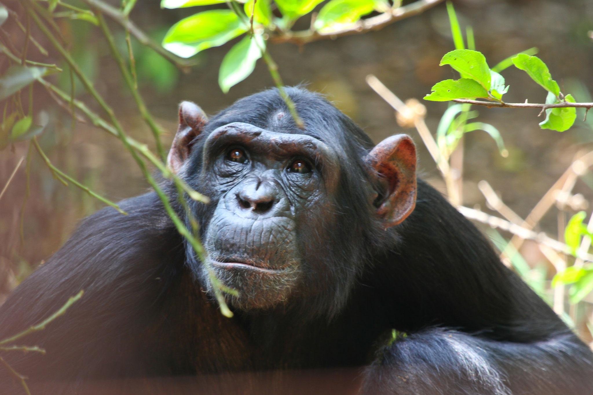 Schimpansen-Beobachtung in Sambia