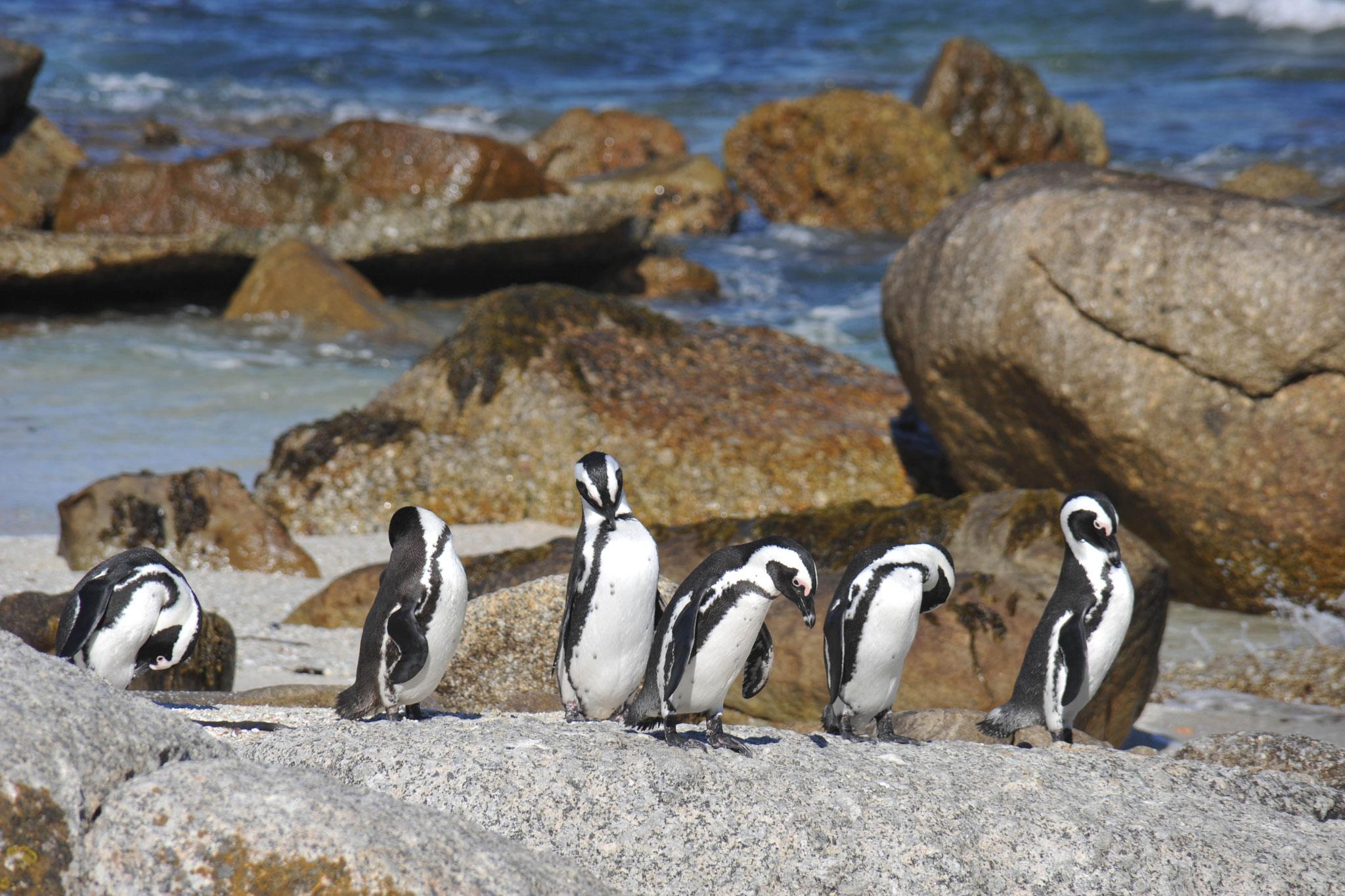 Kap-Pringuine in Südafrika