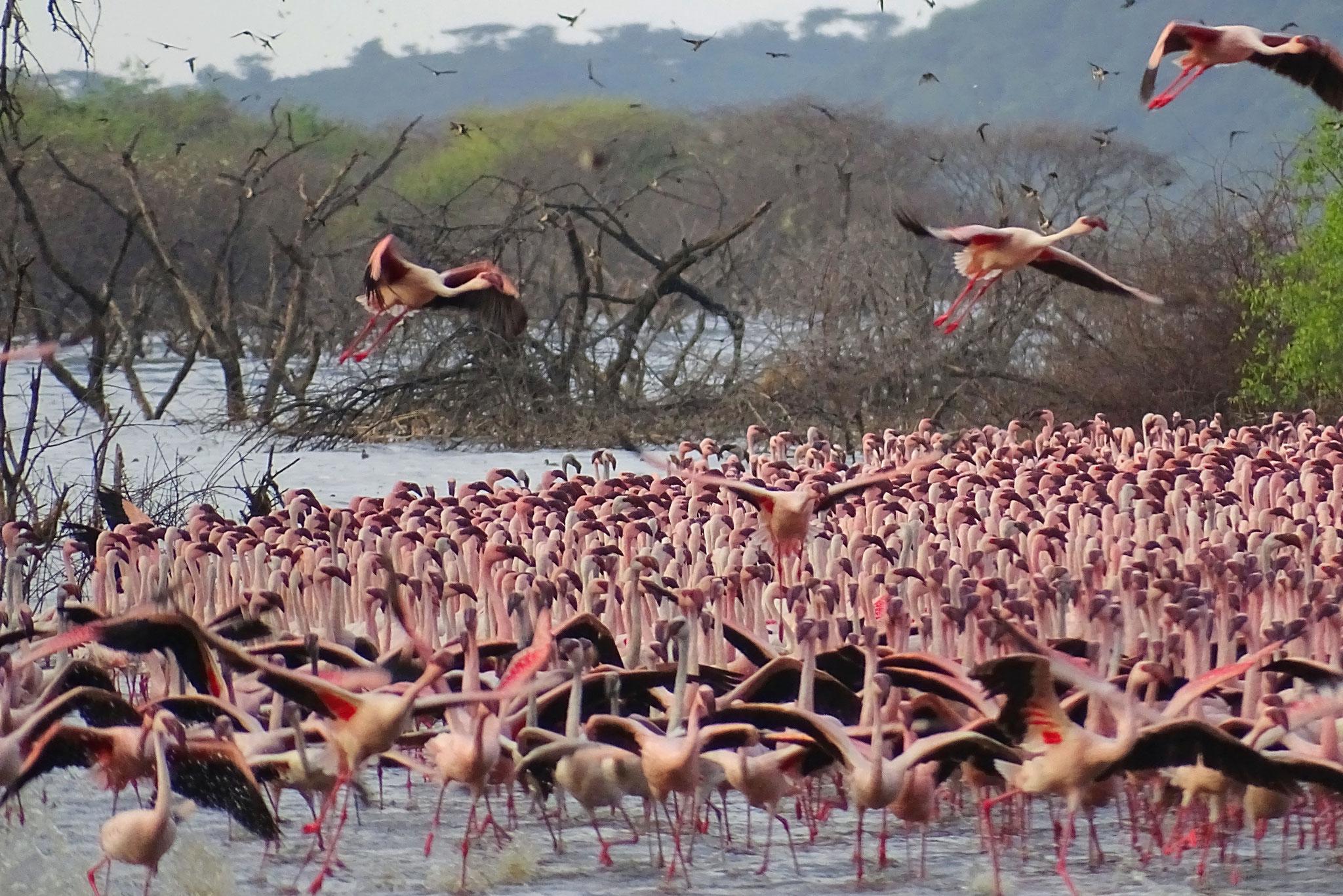 Flamingos in Kenia