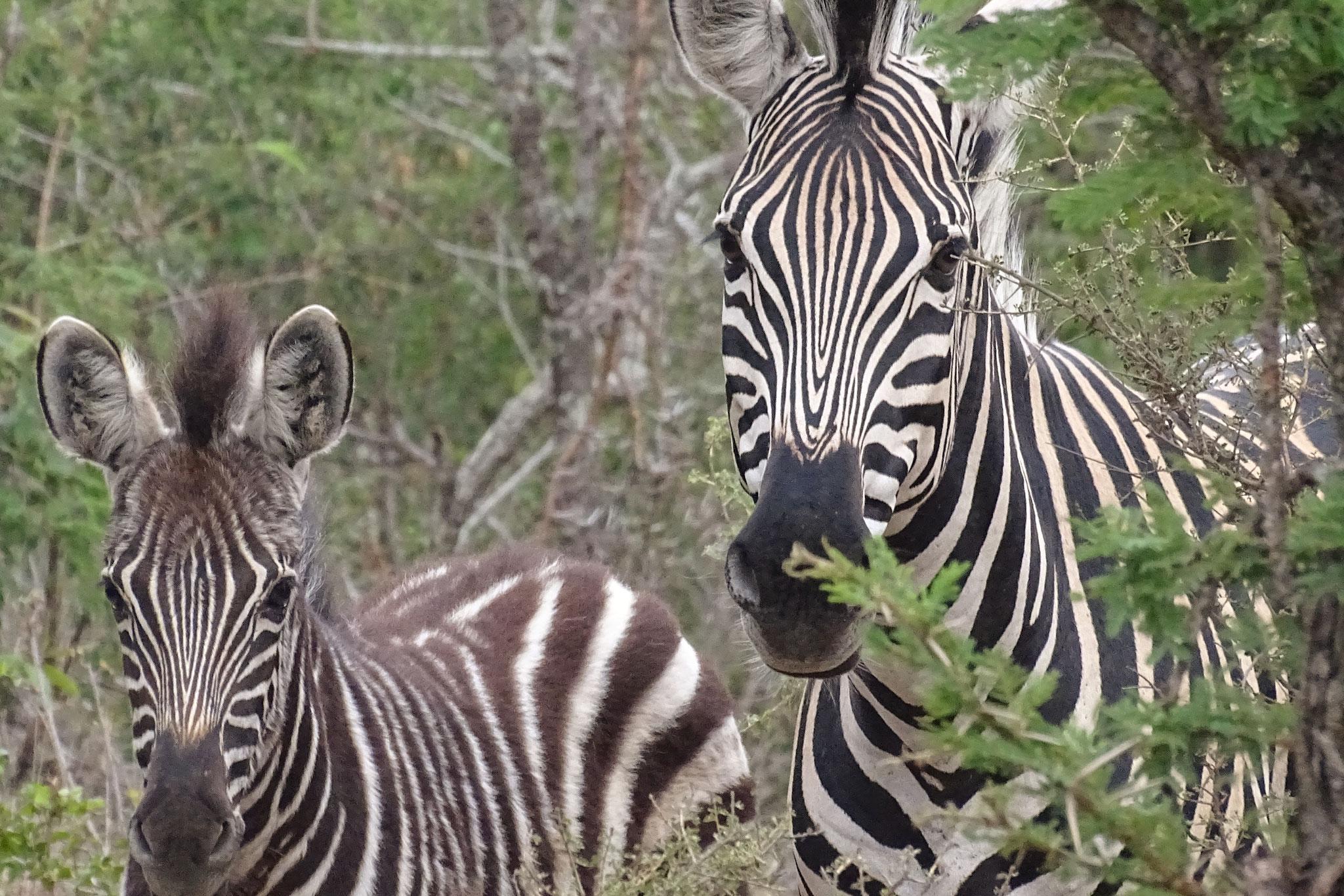 Zebras auf einer Afrika-Safari