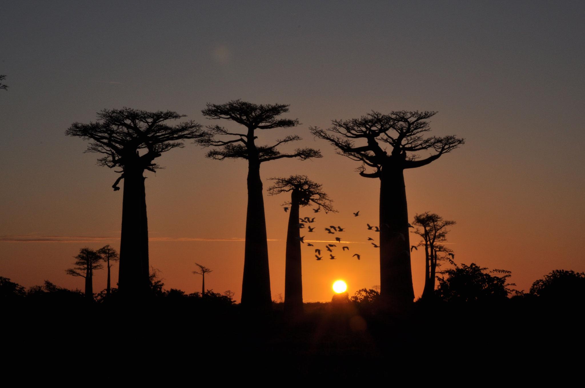 Baobab-Alle in Madagaskar