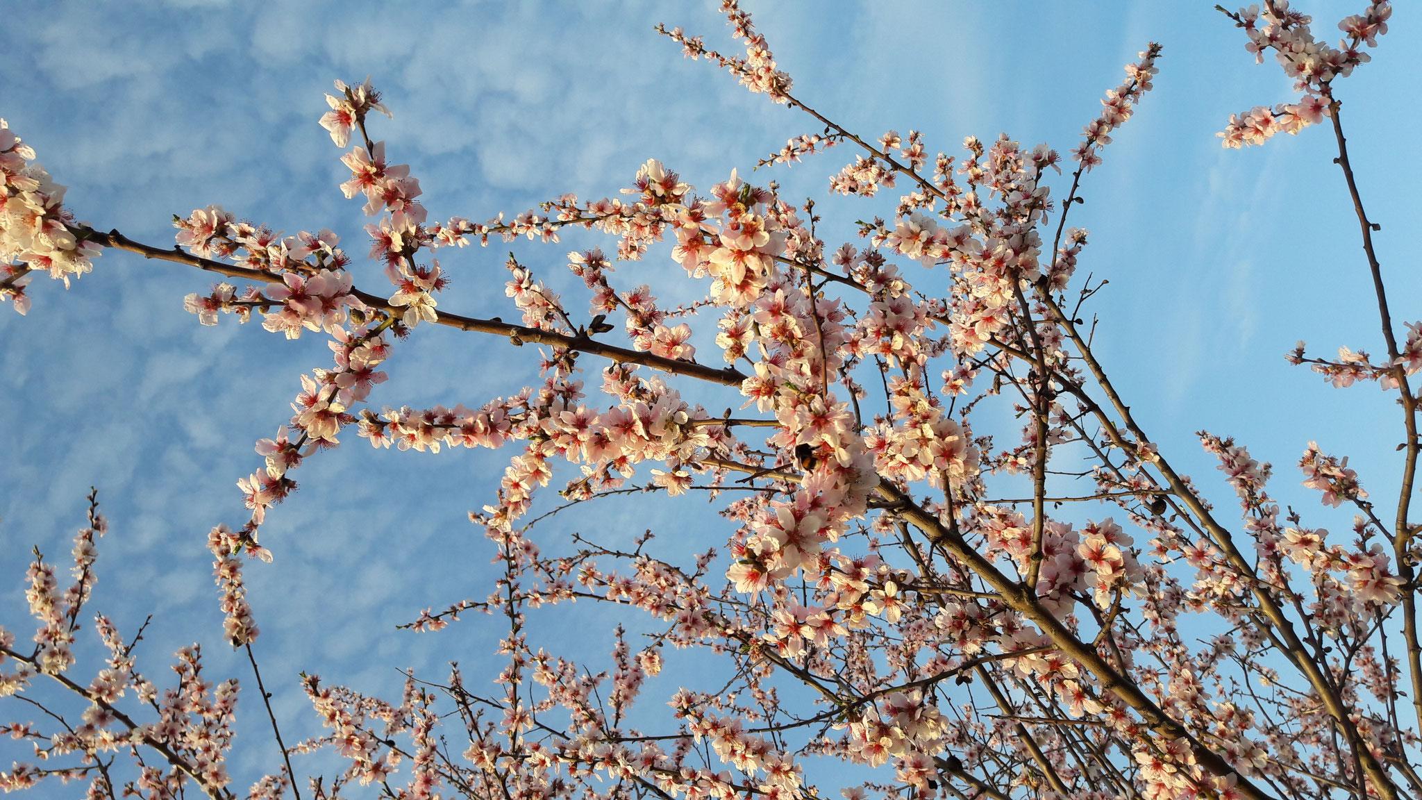 Mandelblüte an der Weinstraße