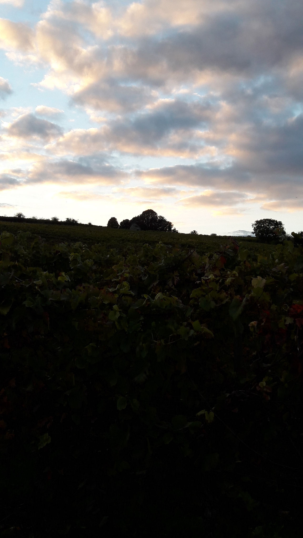 Sonnenuntergang in den Weinbergen