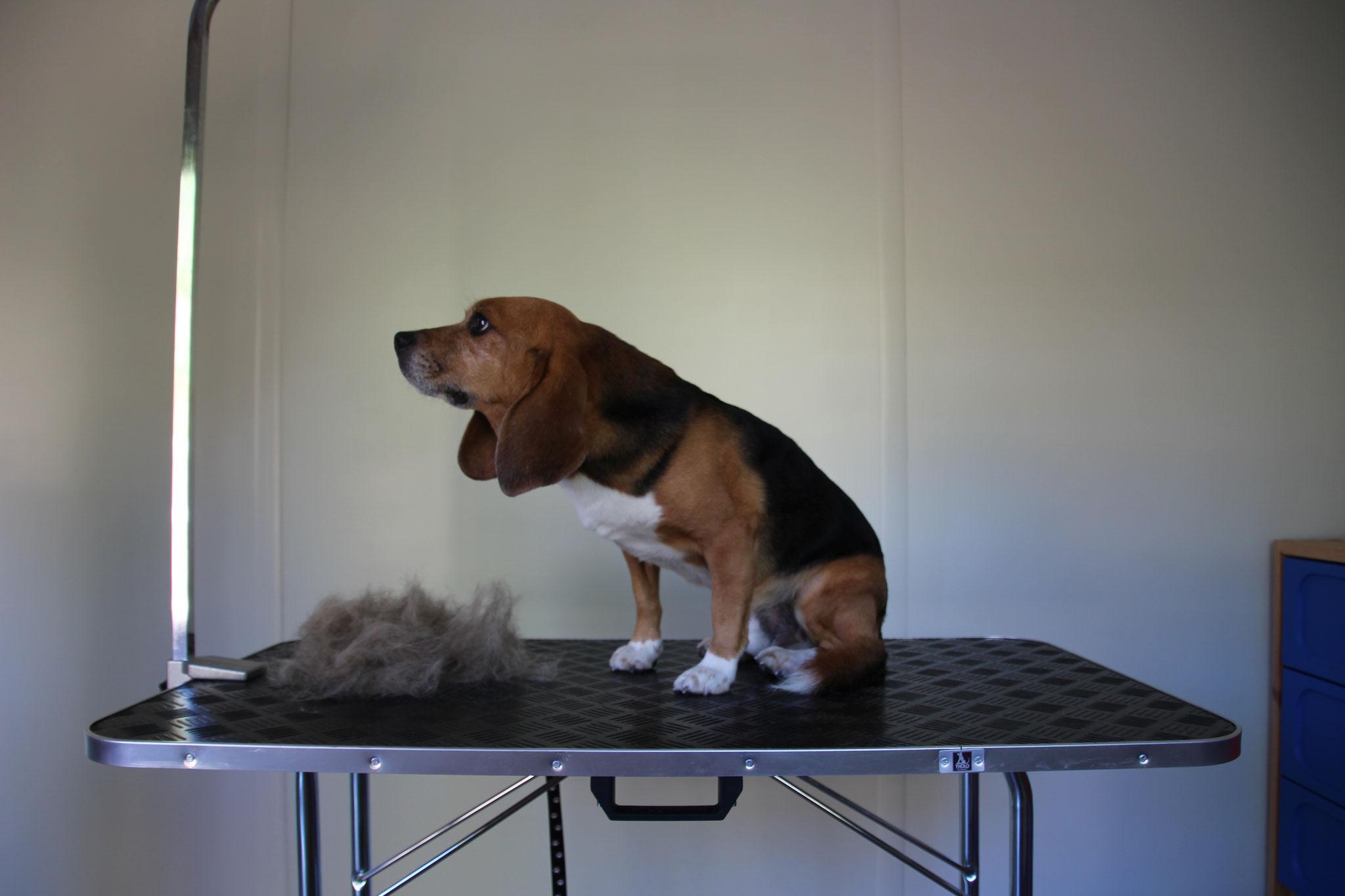 Beagle Pacho