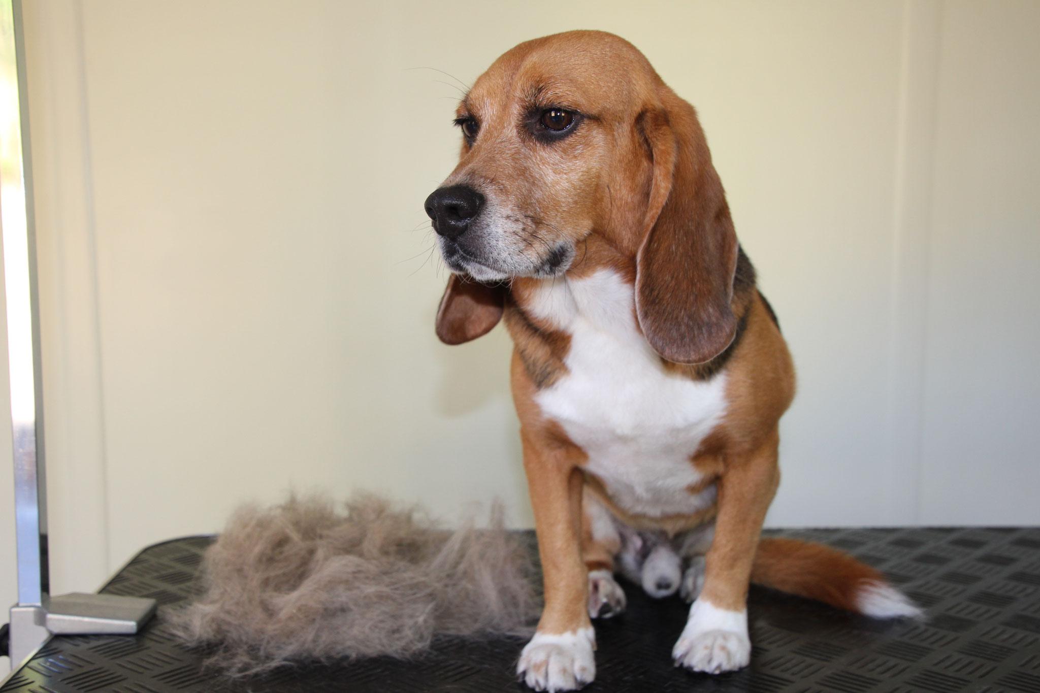 Beagle Pacho, alle 8 Wochen Haare ohne Ende