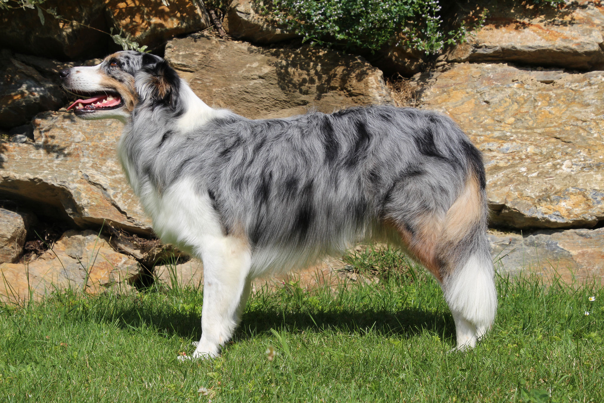 Australian Shepherd Cloe